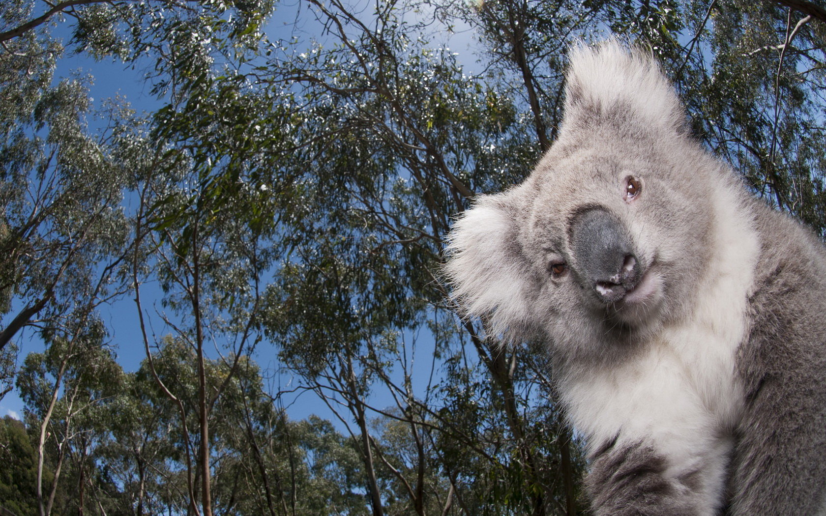Best Koala wallpaper ID:74278 for High Resolution hd 1680x1050 PC