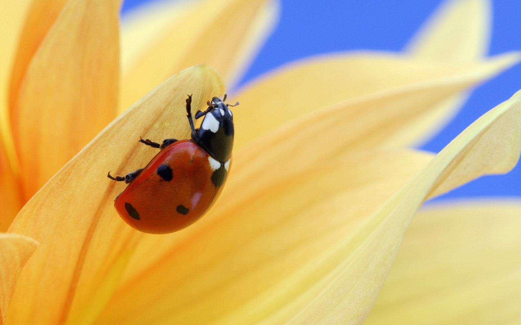 Download hd 1680x1050 Ladybug desktop wallpaper ID:270561 for free