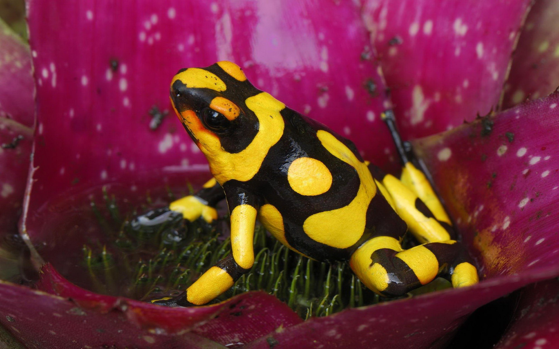 Awesome Poison Dart Frog free wallpaper ID:253506 for hd 1920x1200 desktop