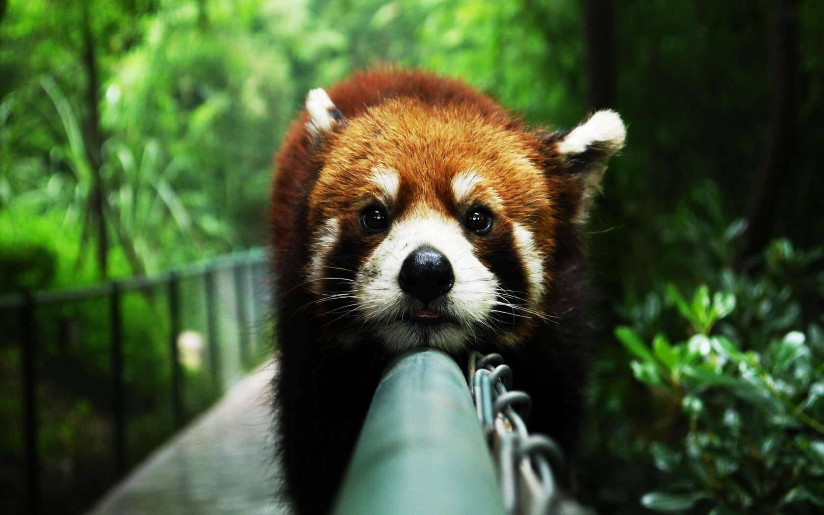 Free Red Panda high quality background ID:64020 for hd 1680x1050 desktop