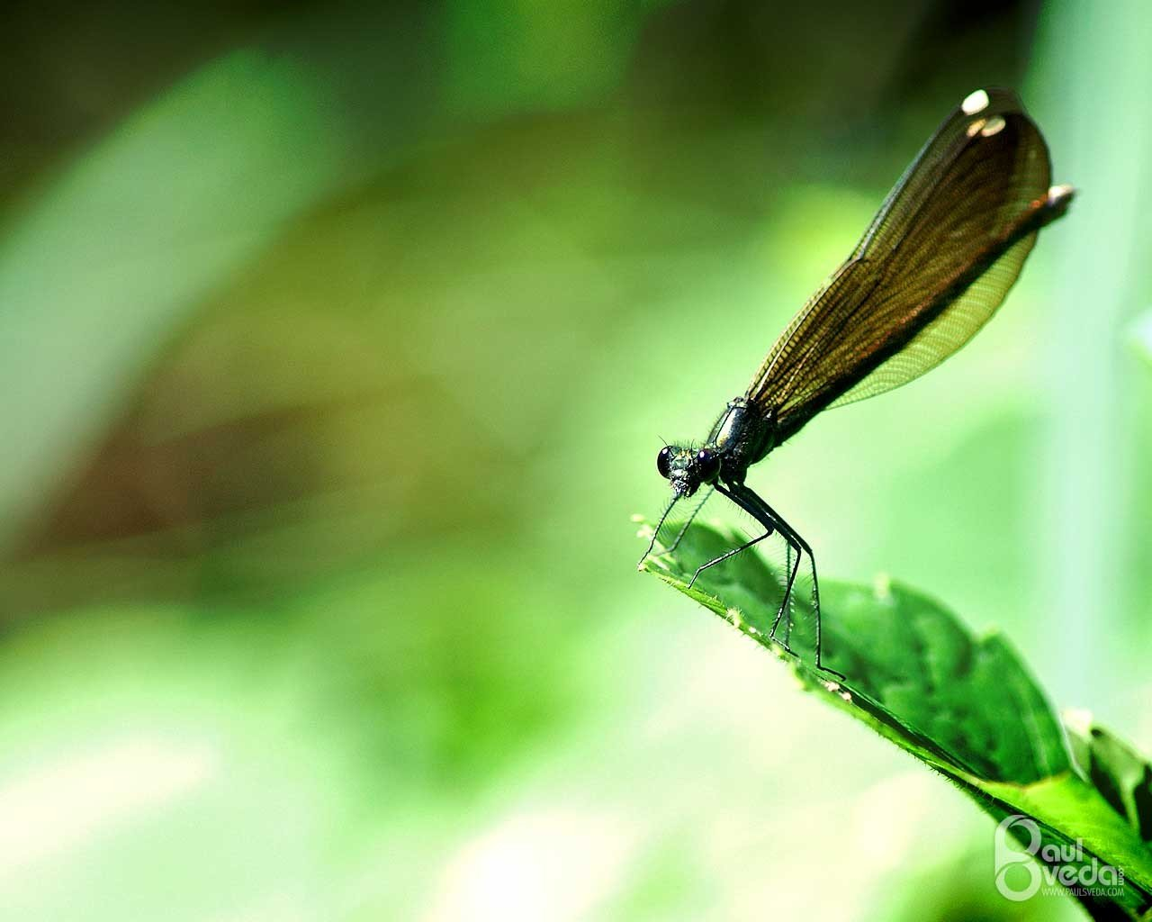 Free Dragonfly high quality background ID:467537 for hd 1280x1024 PC