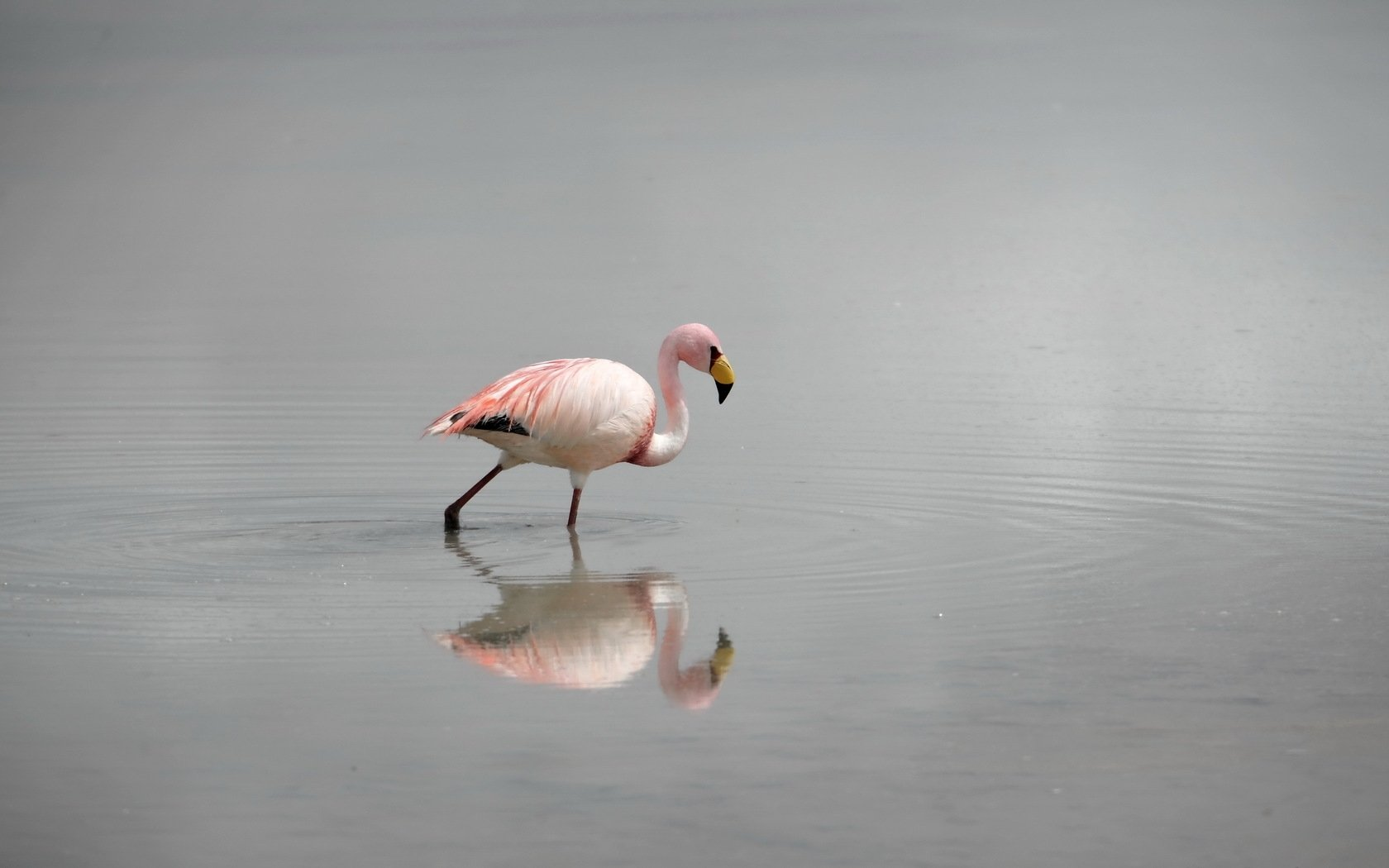 Best Flamingo wallpaper ID:66672 for High Resolution hd 1680x1050 computer