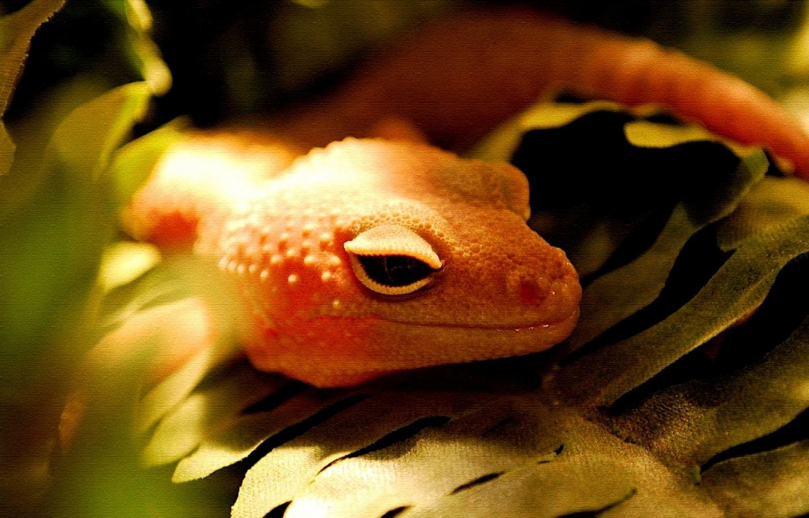 Awesome Gecko free wallpaper ID:114544 for hd 1600x1024 PC