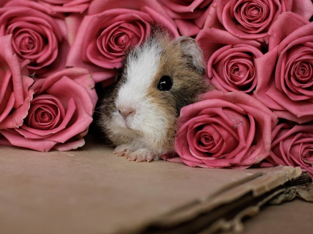 Awesome Guinea Pig free background ID:270969 for hd 1024x768 computer
