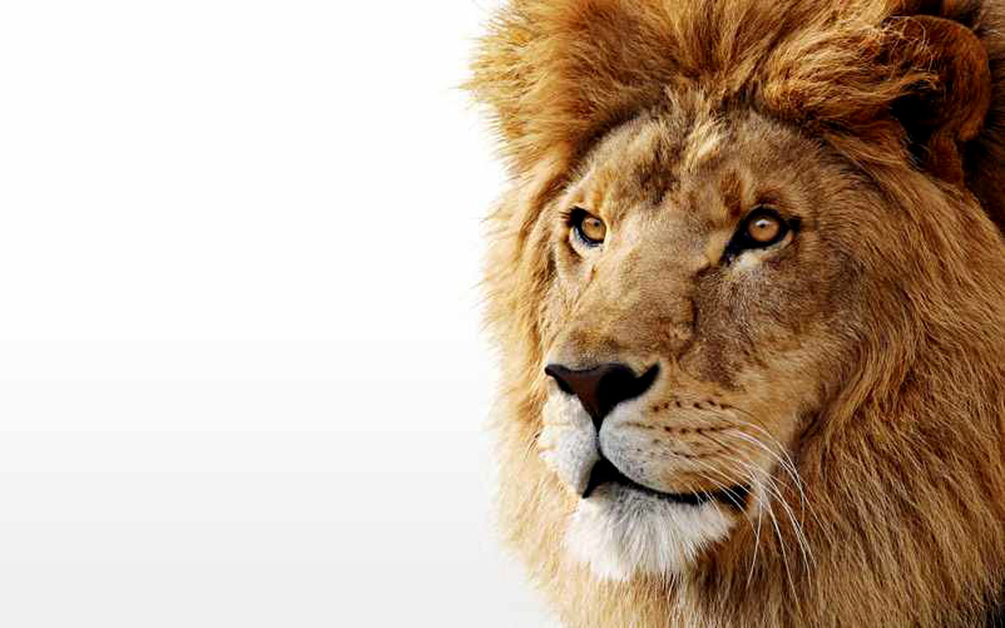 Free Lion high quality wallpaper ID:255991 for hd 1440x900 desktop