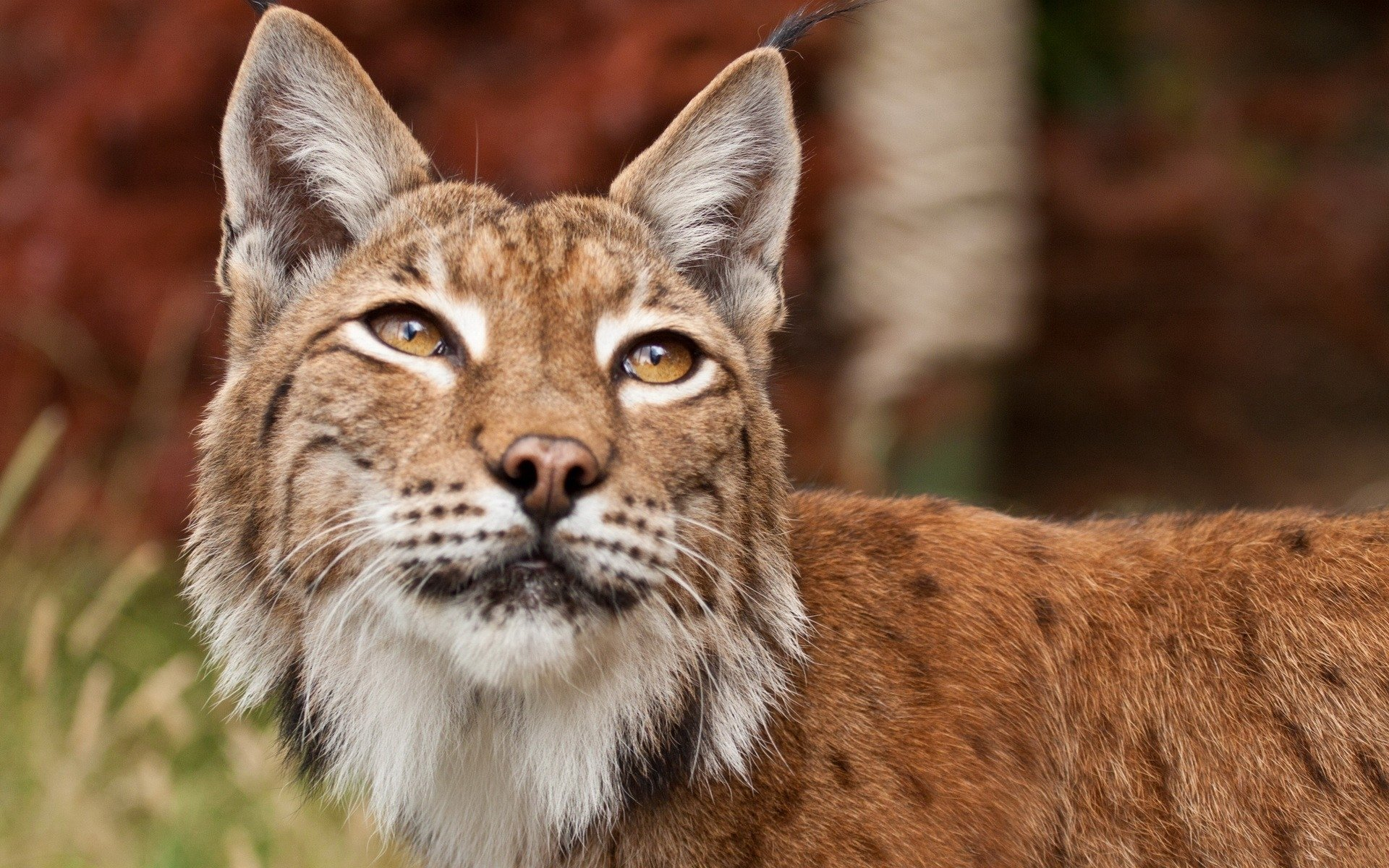 High resolution Lynx hd 1920x1200 background ID:105842 for desktop