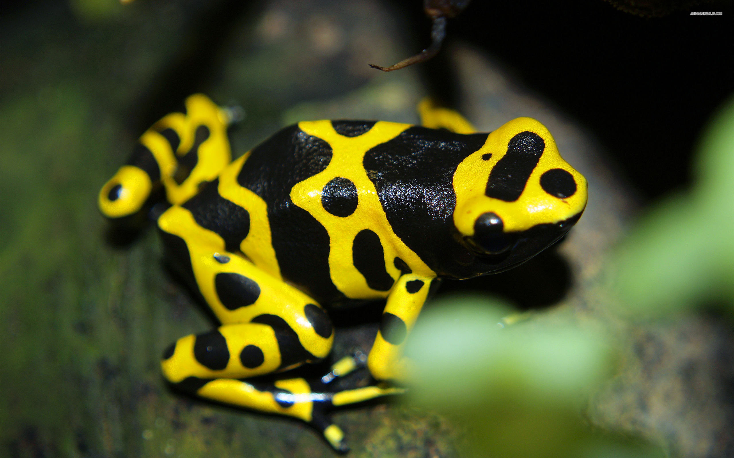 Best Poison Dart Frog background ID:253493 for High Resolution hd 2560x1600 computer