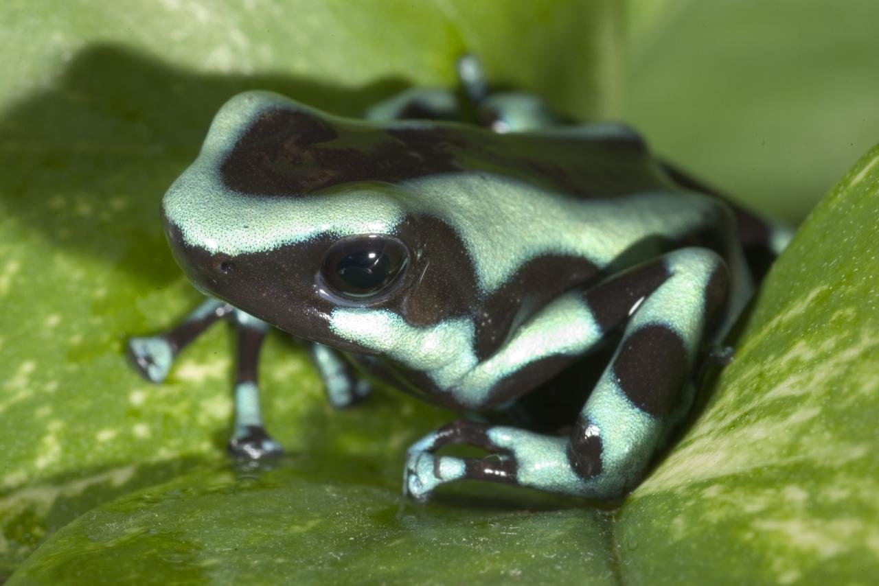 Awesome Poison Dart Frog free wallpaper ID:253501 for hd 1280x854 computer