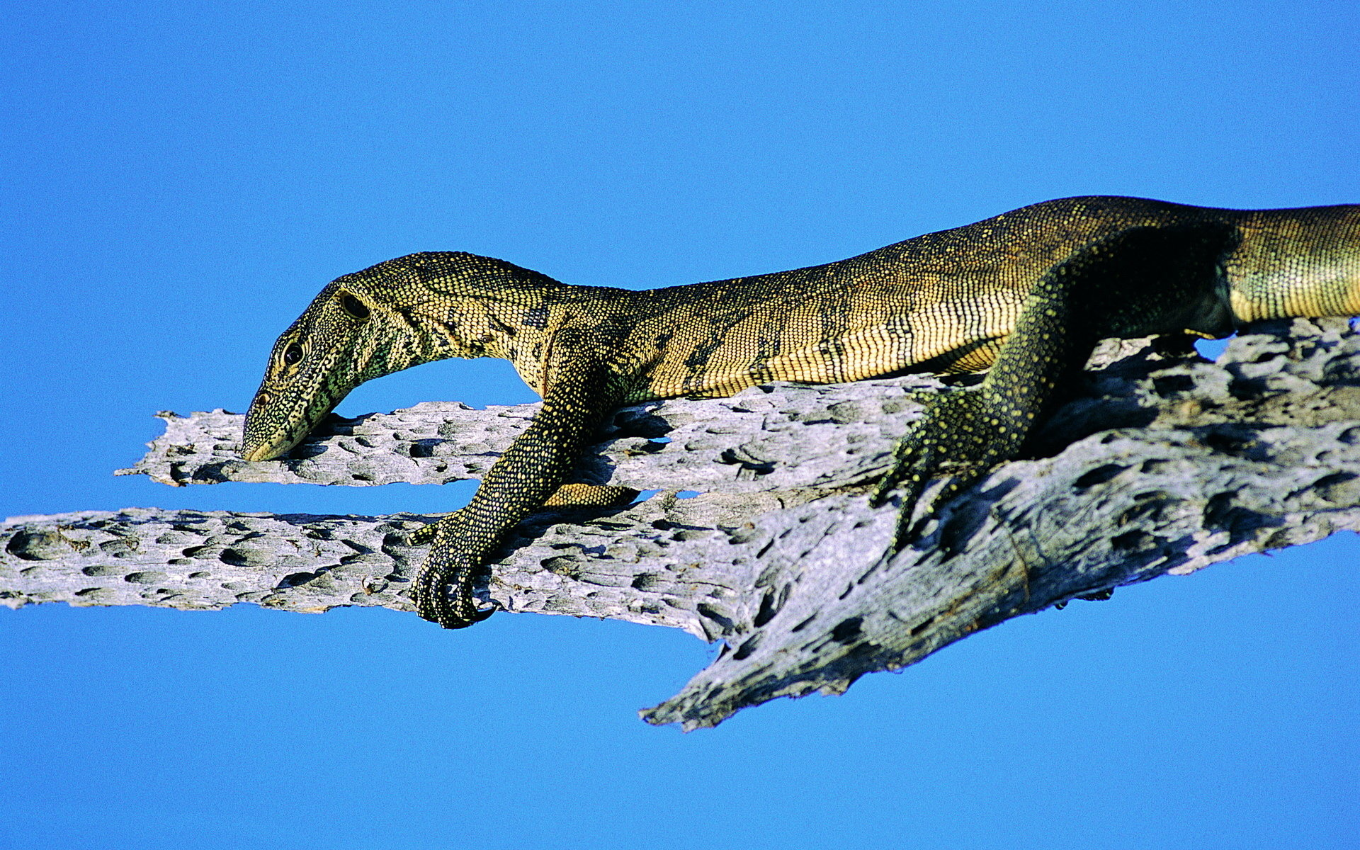 Awesome Monitor Lizard free wallpaper ID:450154 for hd 1920x1200 PC