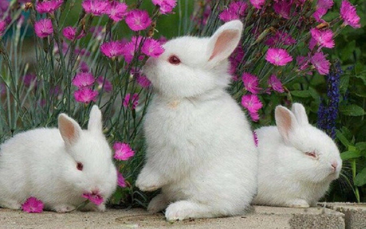 Download hd 1280x800 Rabbit & Bunny PC background ID:249057 for free