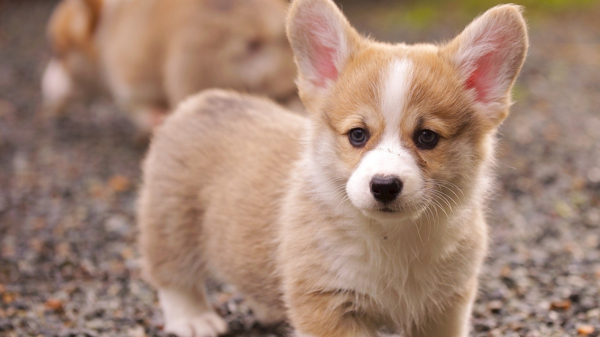 Best Corgi wallpaper ID:47787 for High Resolution hd 1080p PC