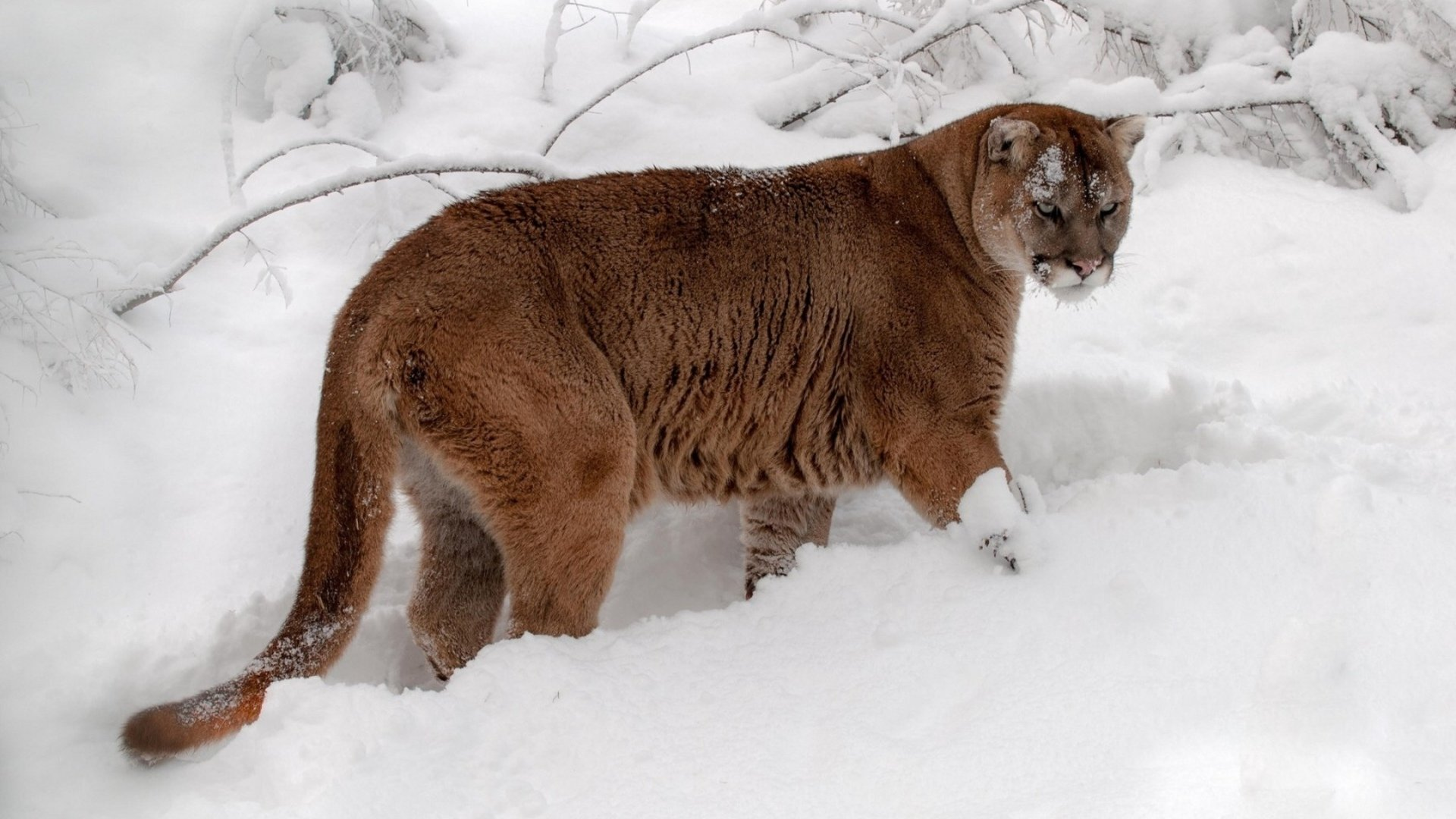 Best Cougar wallpaper ID:81688 for High Resolution hd 1080p PC