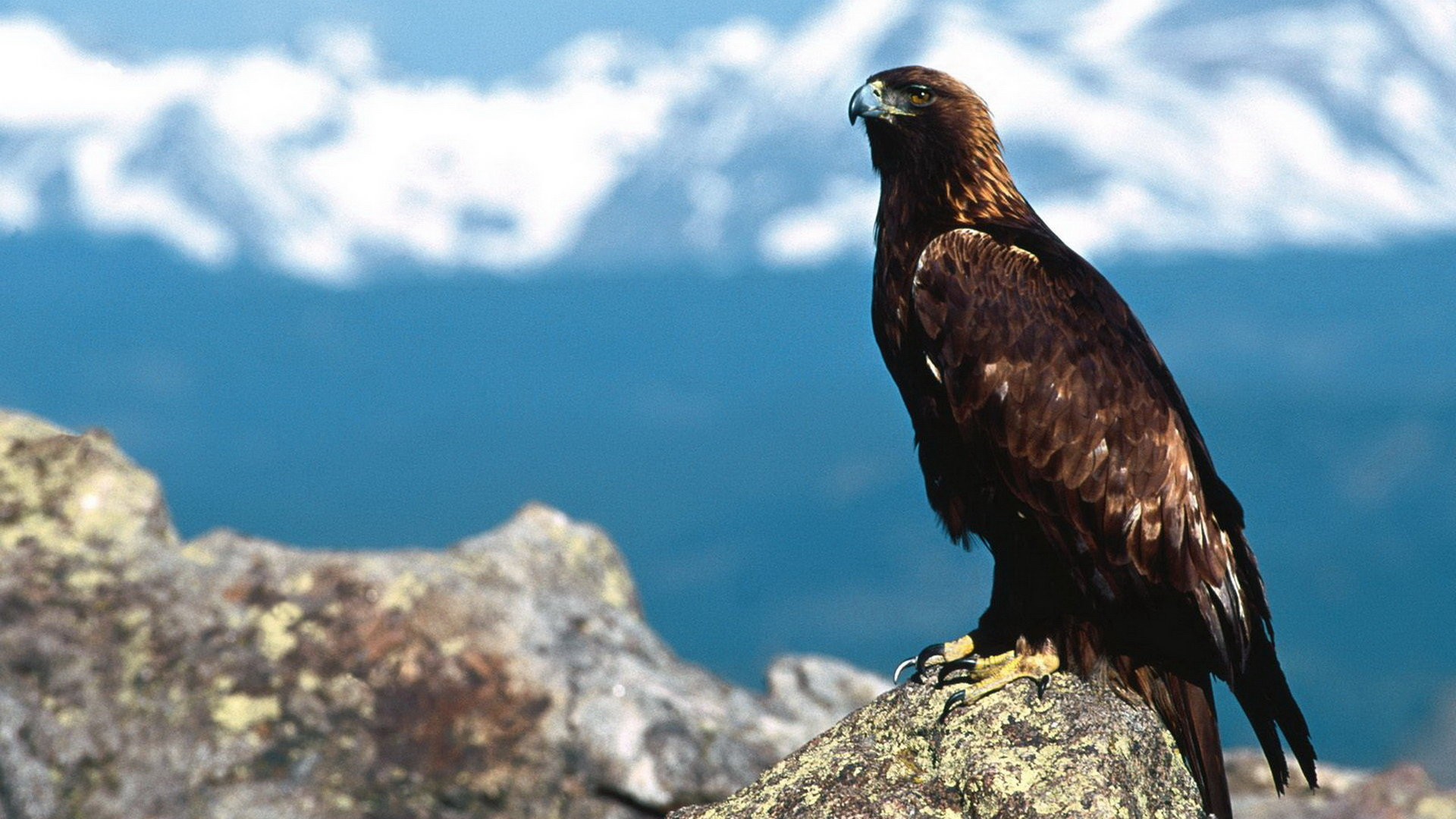 Awesome Eagle free wallpaper ID:231352 for hd 1920x1080 desktop