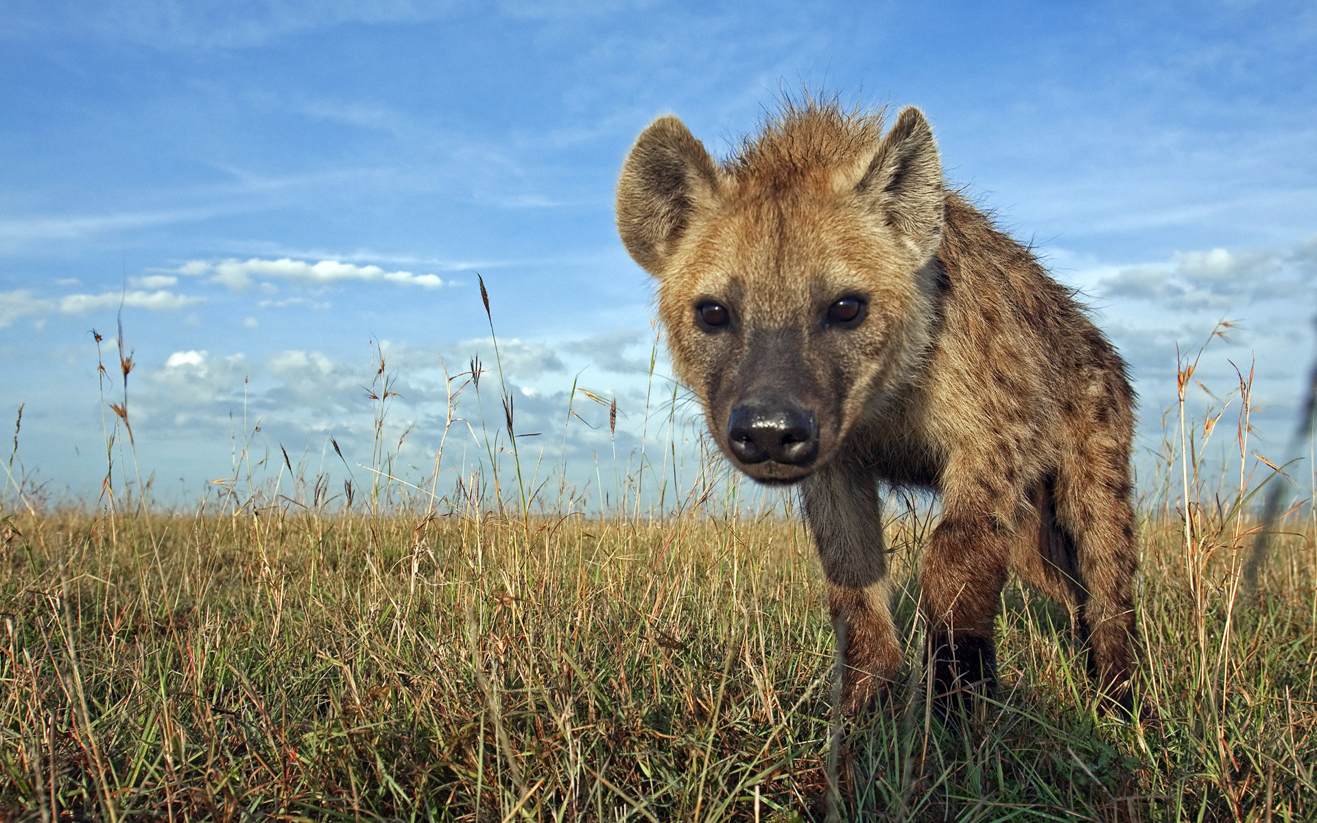 Free Hyena high quality background ID:239231 for hd 1920x1200 desktop