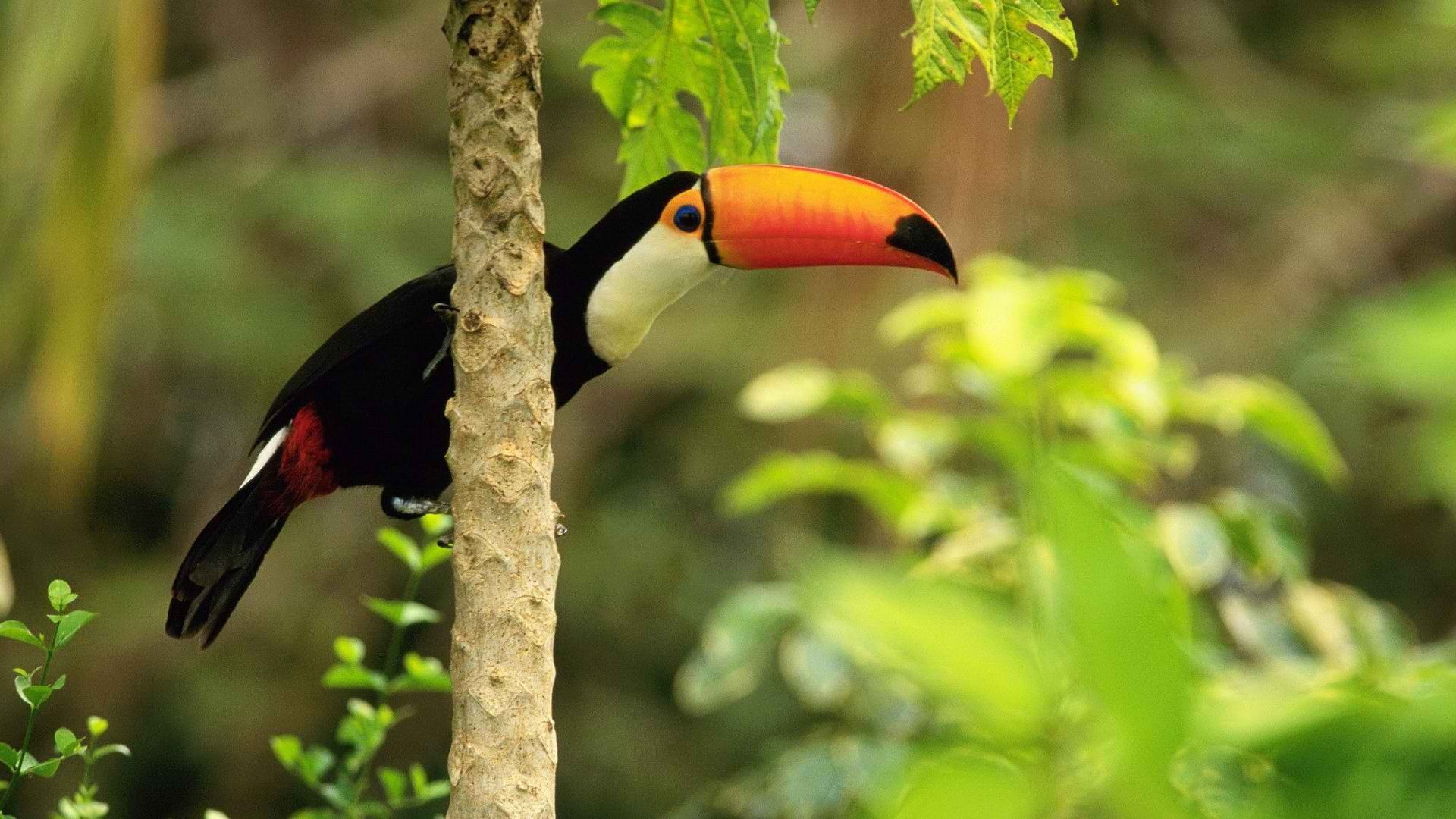 Best Toucan wallpaper ID:57320 for High Resolution hd 1080p computer