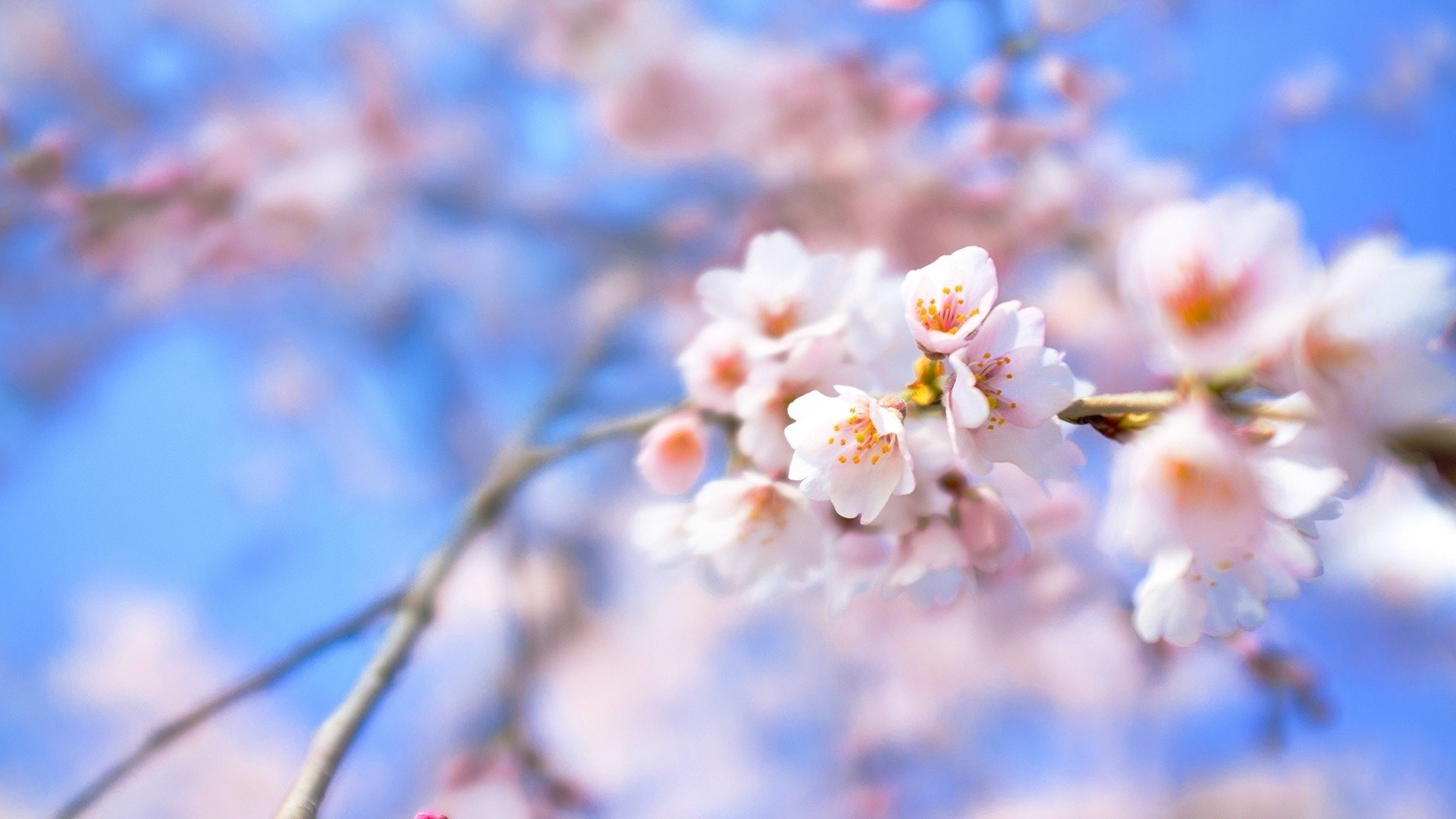Best Blossom Wallpaper ID332711 For High Resolution Full Hd PC 1920x1080