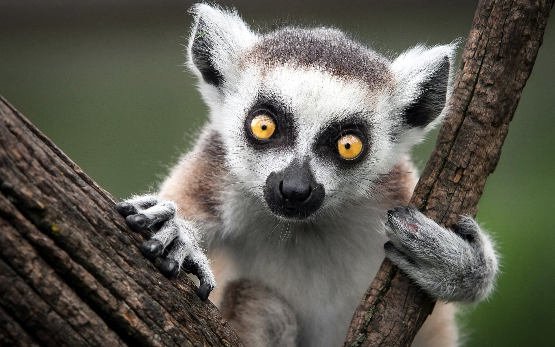 Free Lemur high quality wallpaper ID:53150 for hd 1920x1200 PC