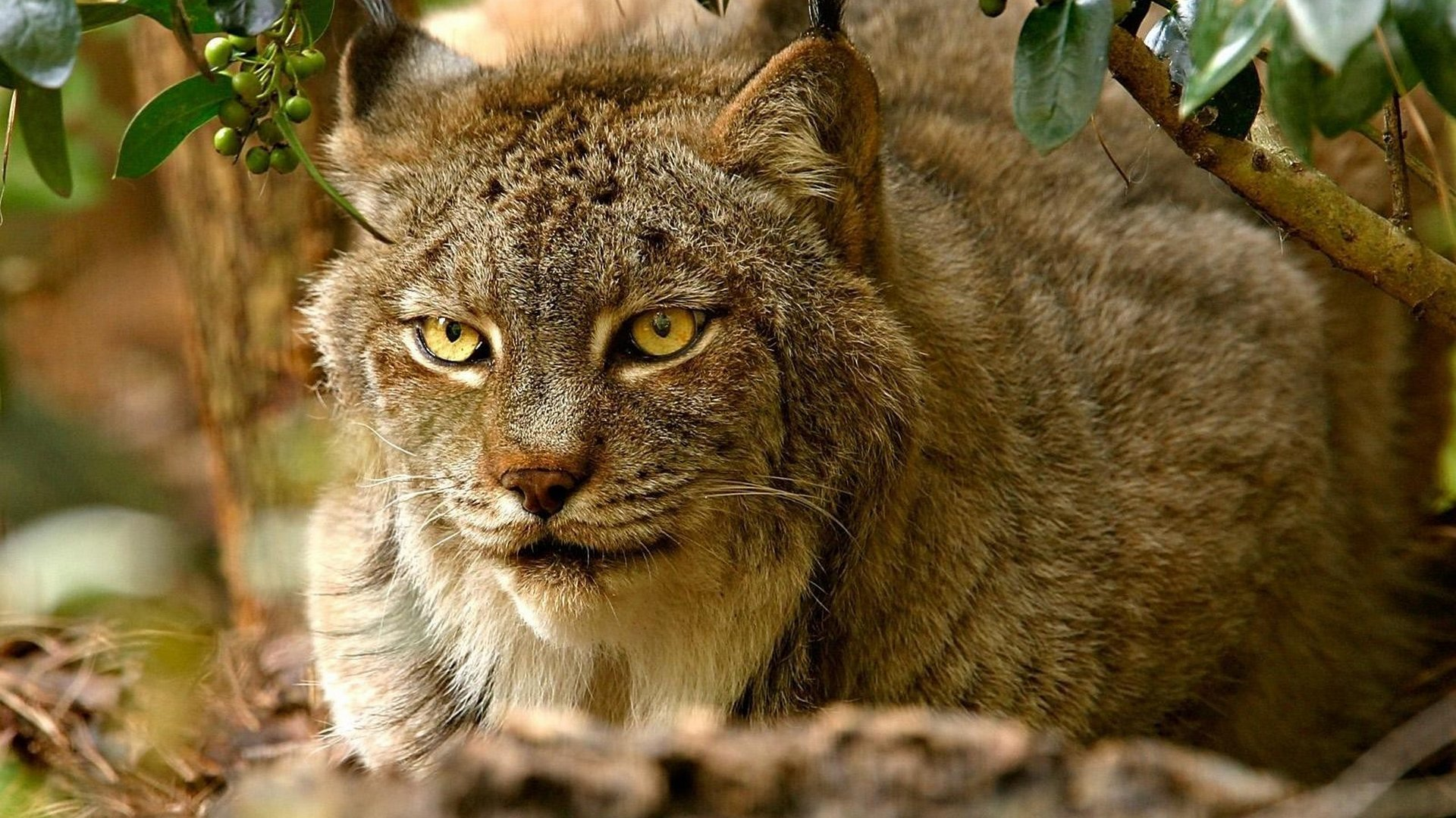 Free Lynx high quality background ID:105841 for full hd 1080p computer