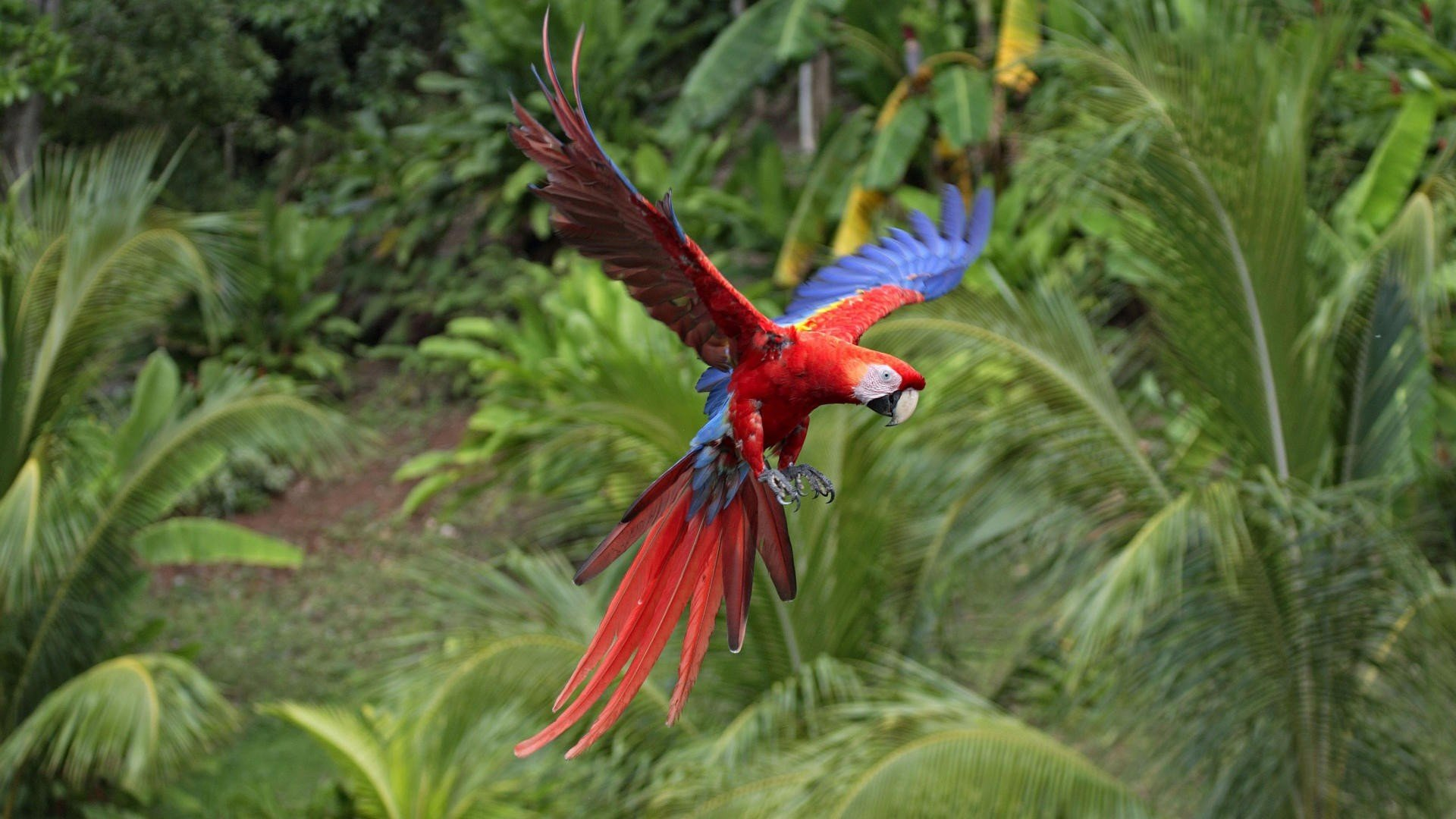 High resolution Macaw hd 1080p background ID:46375 for desktop