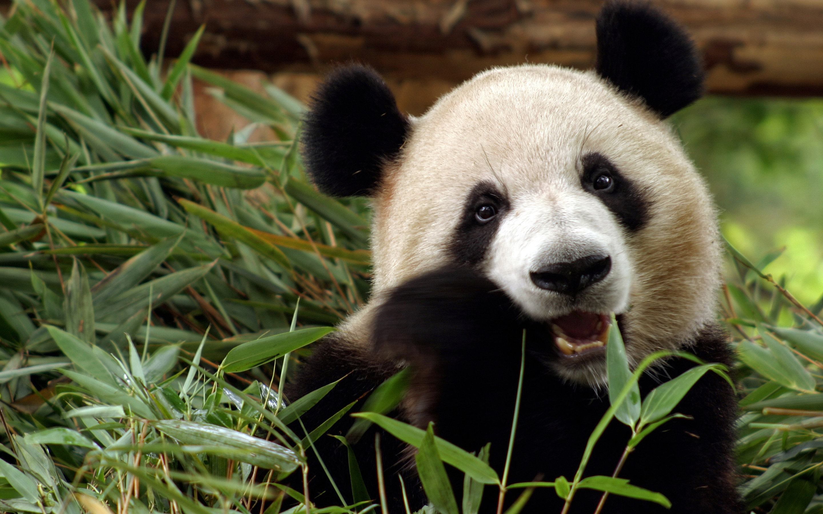 Best Panda background ID:300410 for High Resolution hd 2880x1800 PC