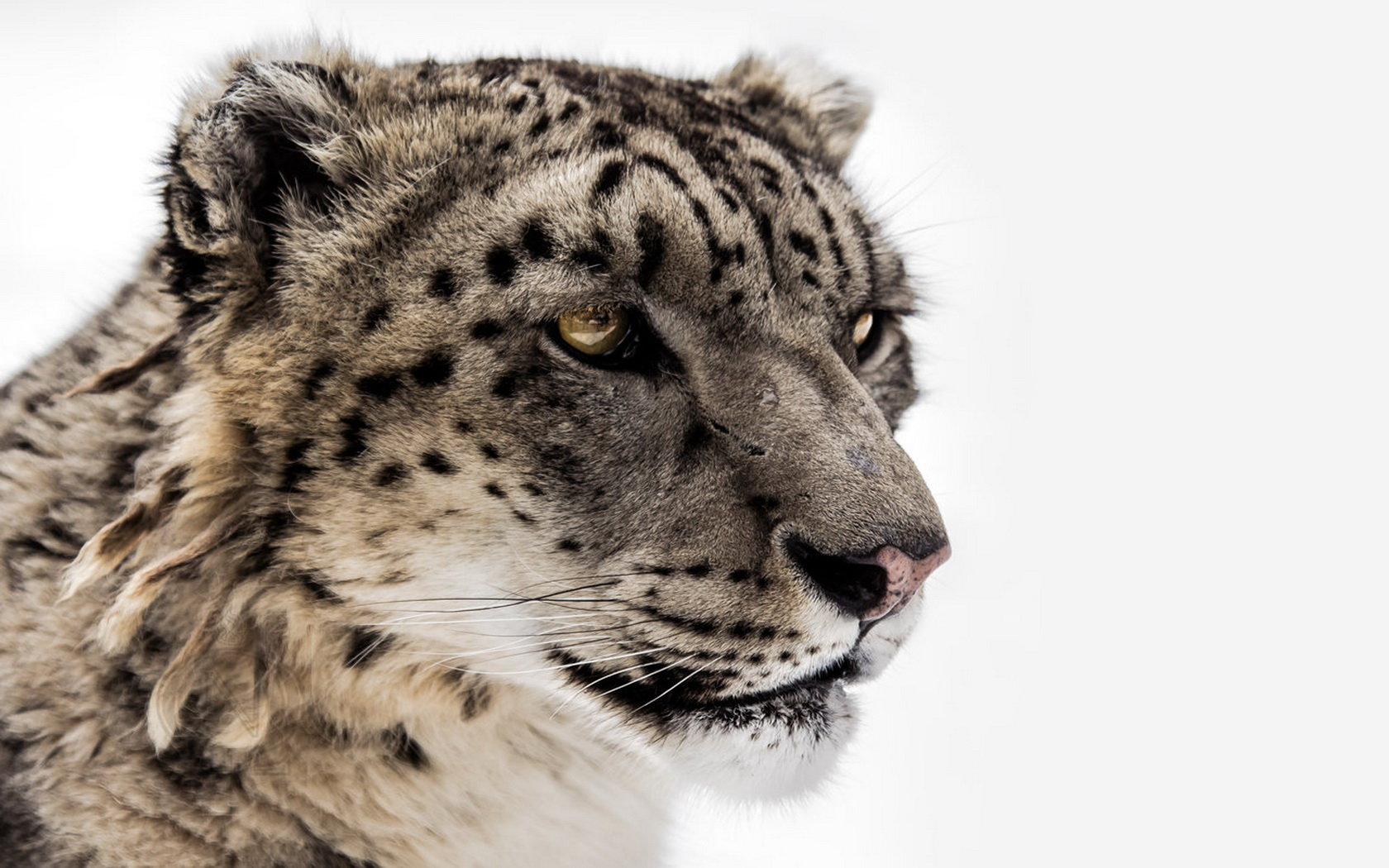 Free Snow Leopard high quality wallpaper ID:34504 for hd 1680x1050 PC