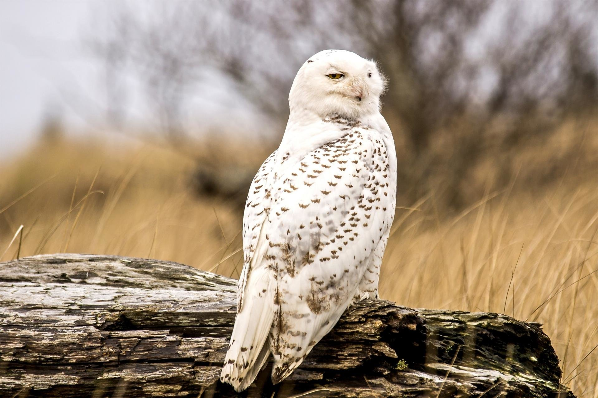 Awesome Snowy Owl Free Wallpaper Id26784 For Hd 1920x1280 Pc