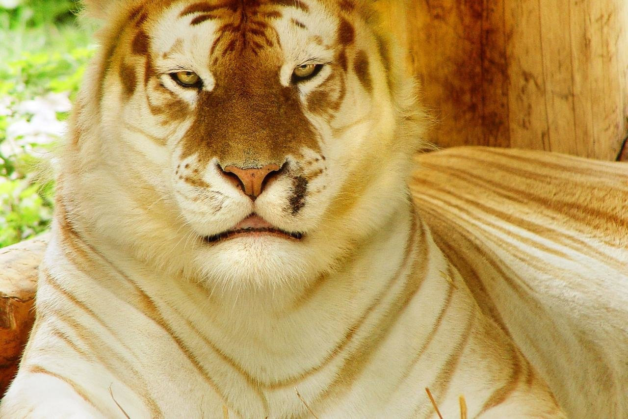 Awesome White Tiger free wallpaper ID:174906 for hd 1280x854 computer
