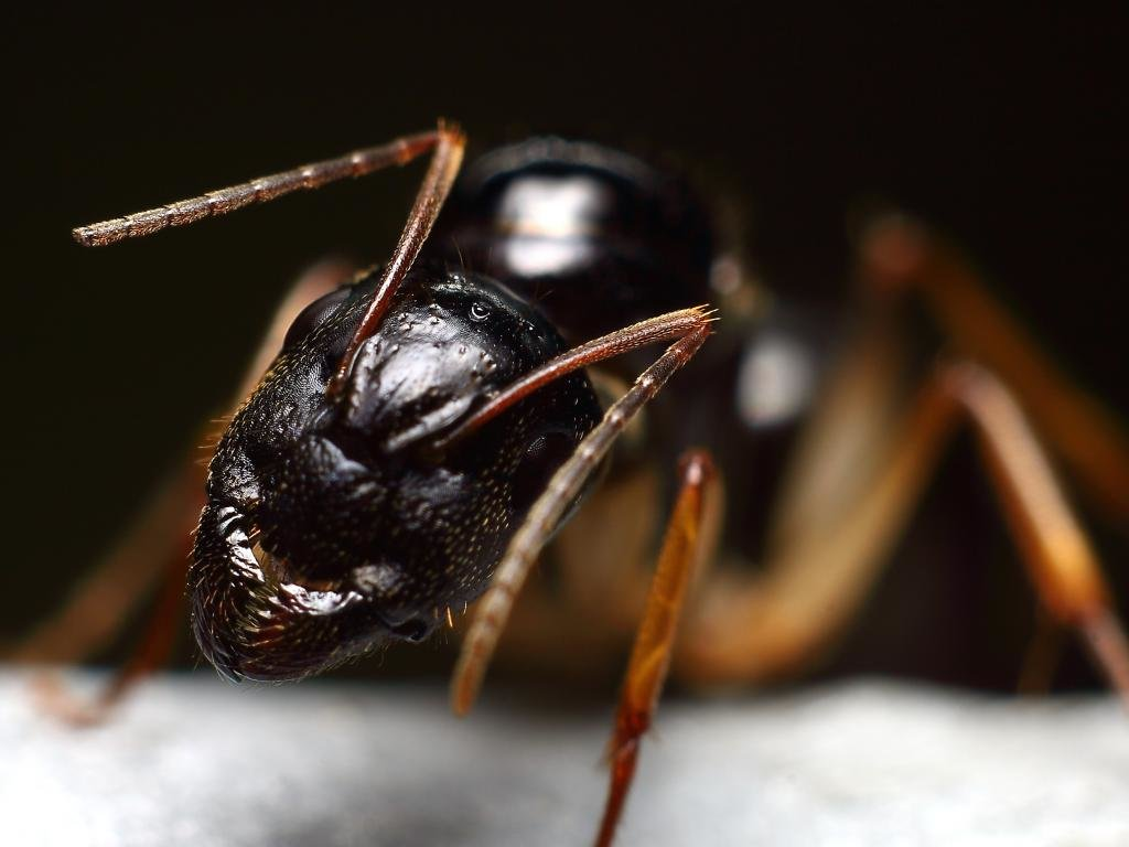 Free download Ant wallpaper ID:401292 hd 1024x768 for computer