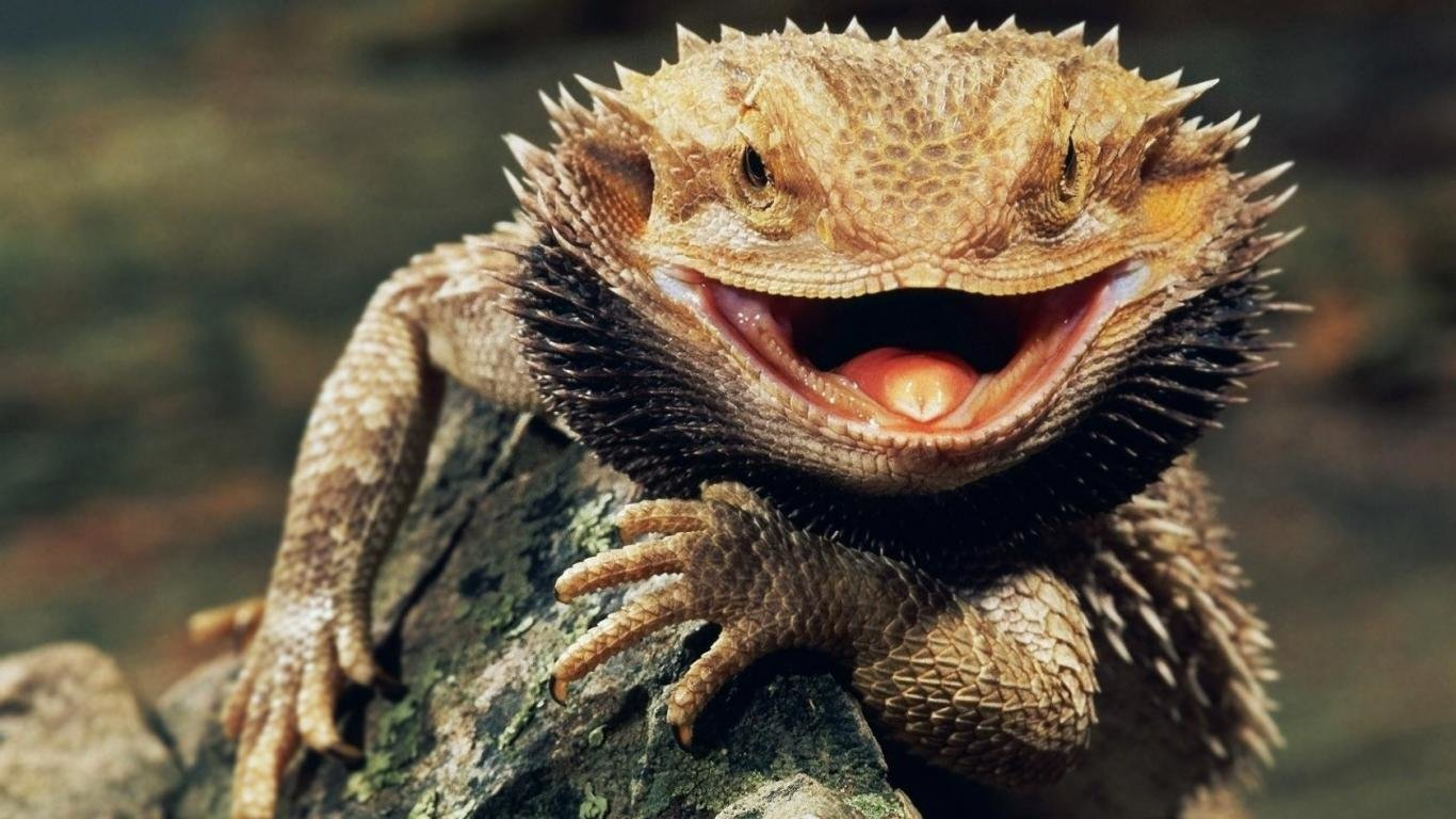 High resolution Bearded Dragon hd 1366x768 background ID:396846 for computer