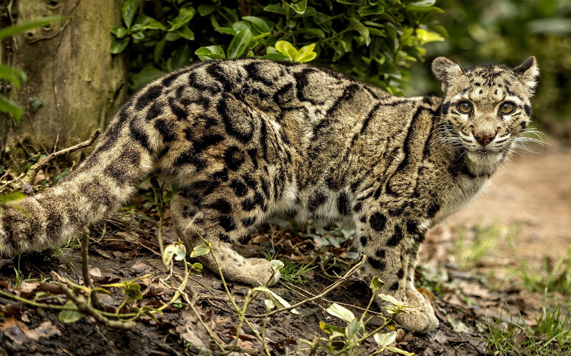 High resolution Clouded Leopard hd 1920x1200 background ID:260352 for PC