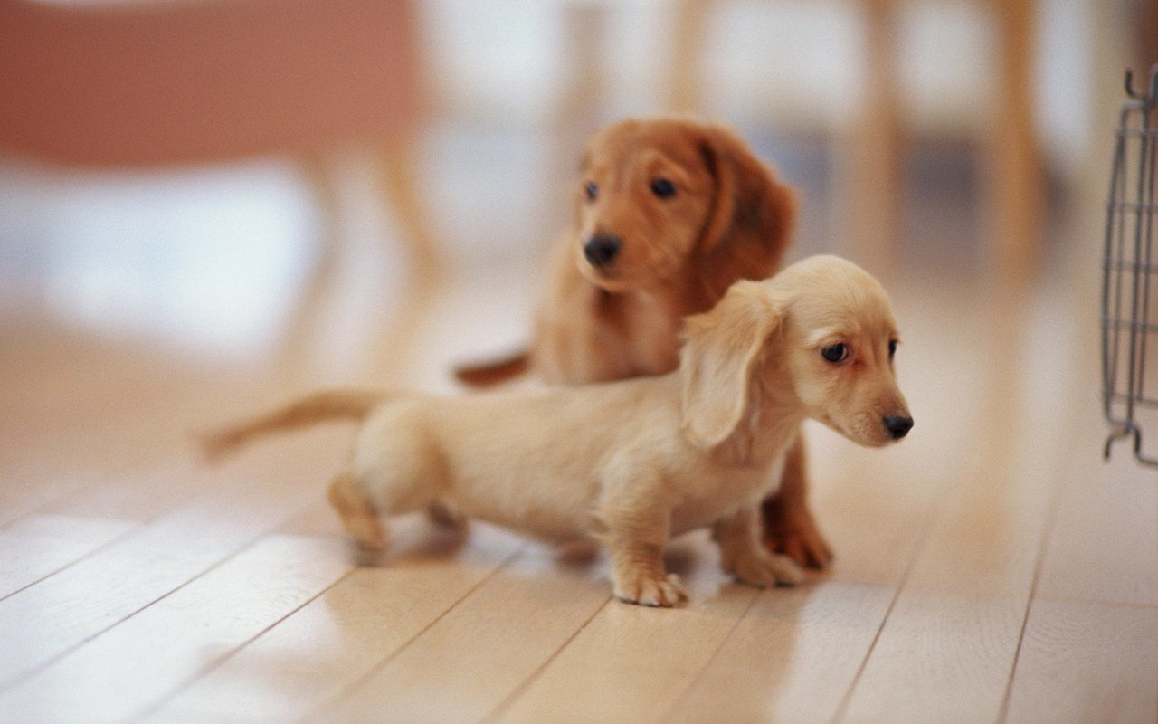 Awesome Dachshund free background ID:310473 for hd 1280x800 desktop