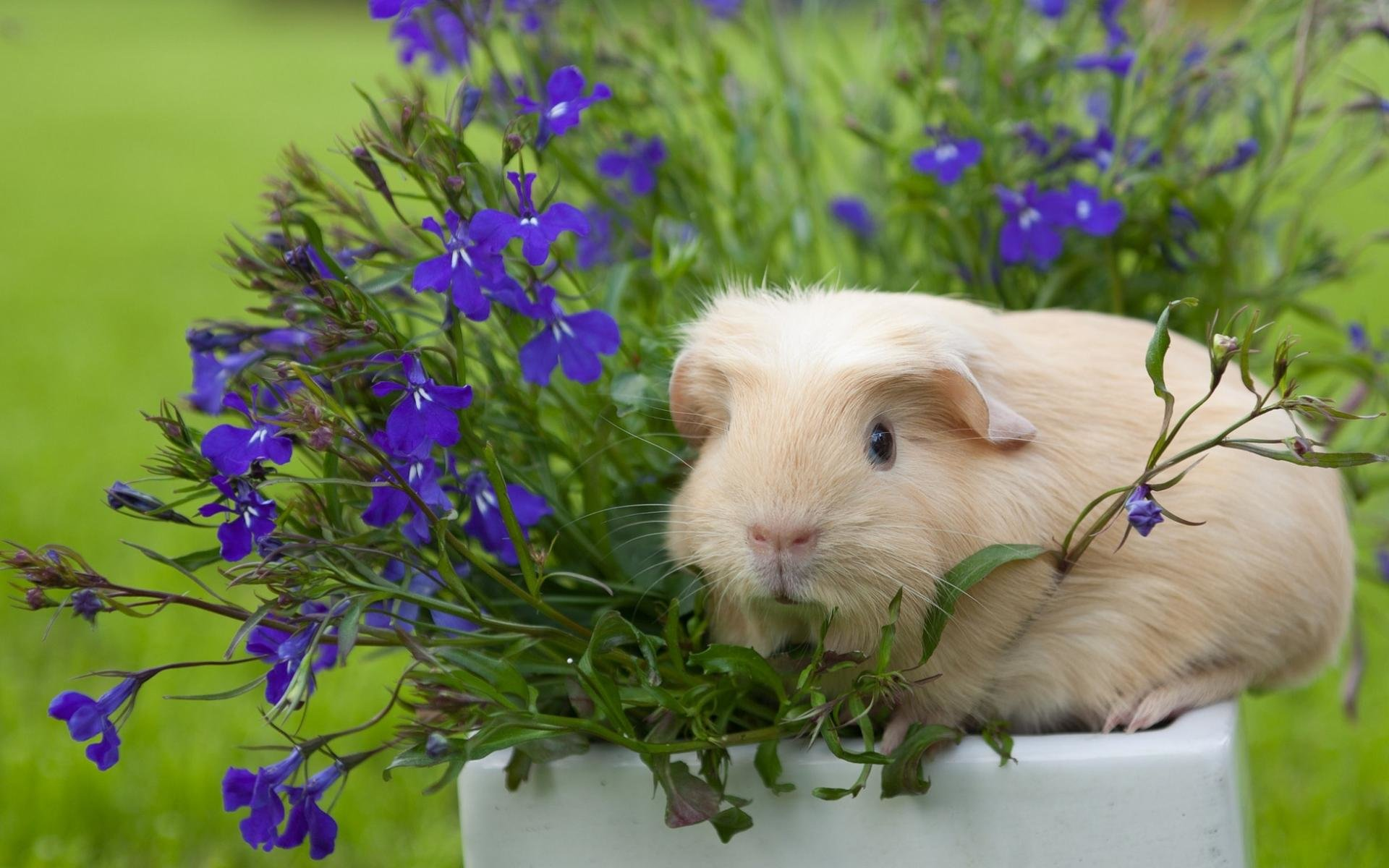 Best Guinea Pig wallpaper ID:270956 for High Resolution hd 1920x1200 computer