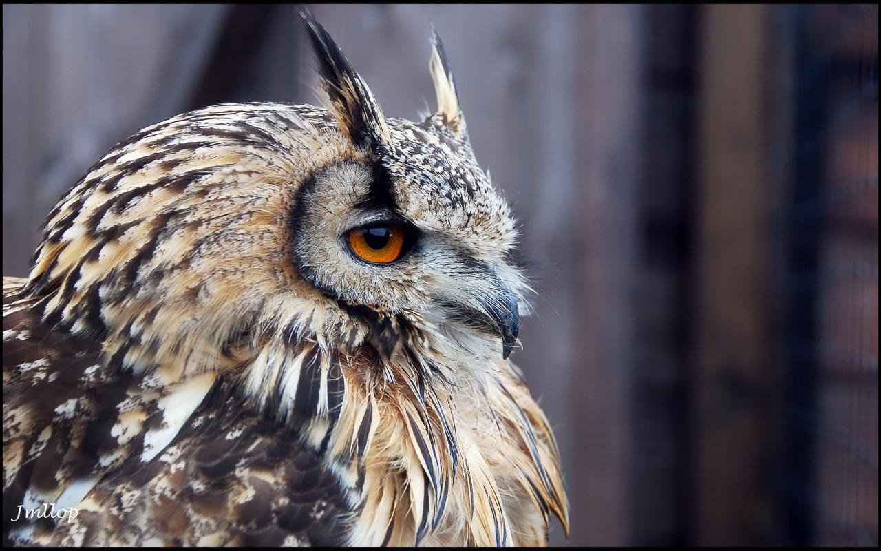 Download hd 1280x800 Owl PC wallpaper ID:236967 for free