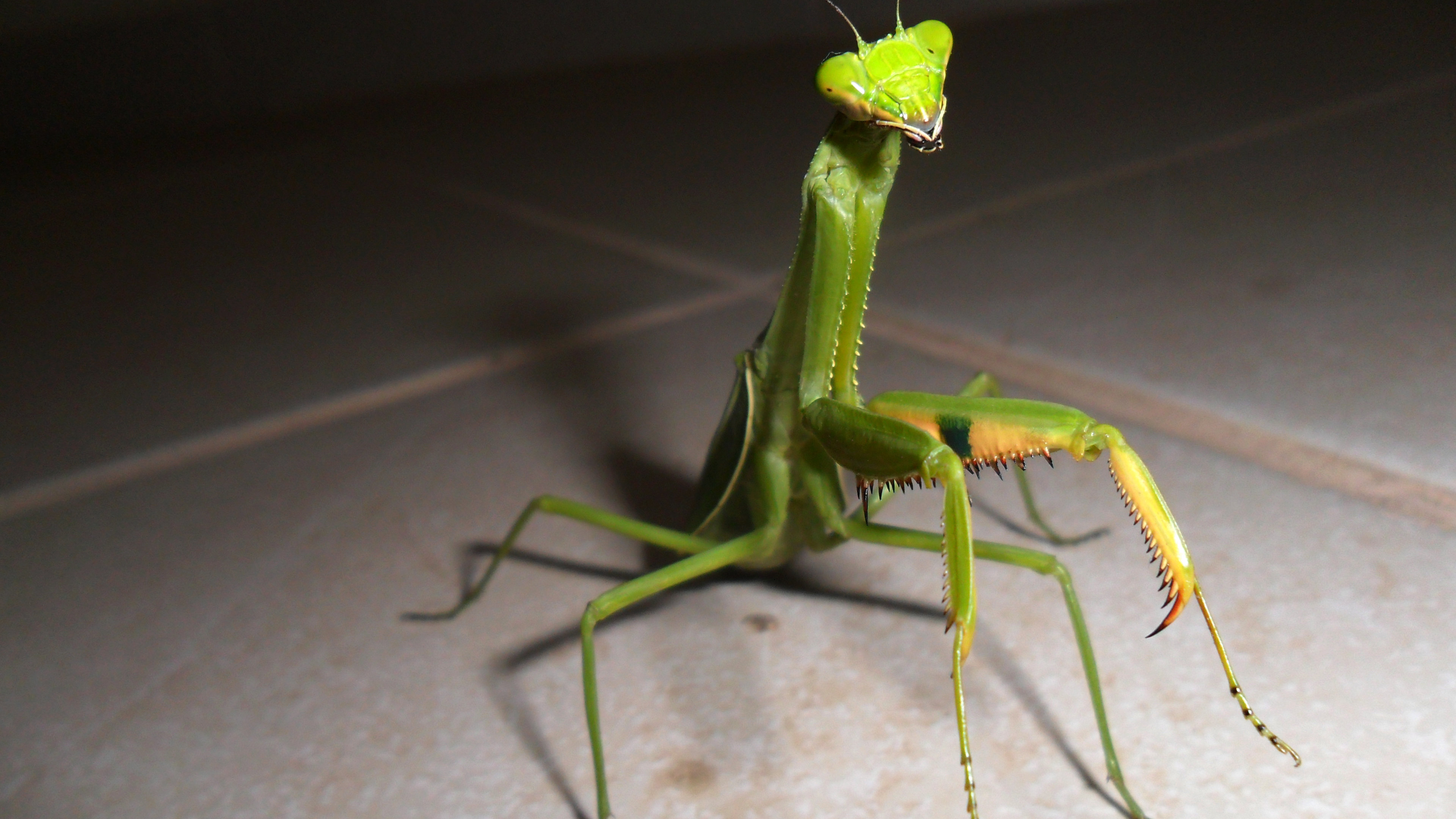 Awesome Praying Mantis free background ID:156416 for uhd 4k PC