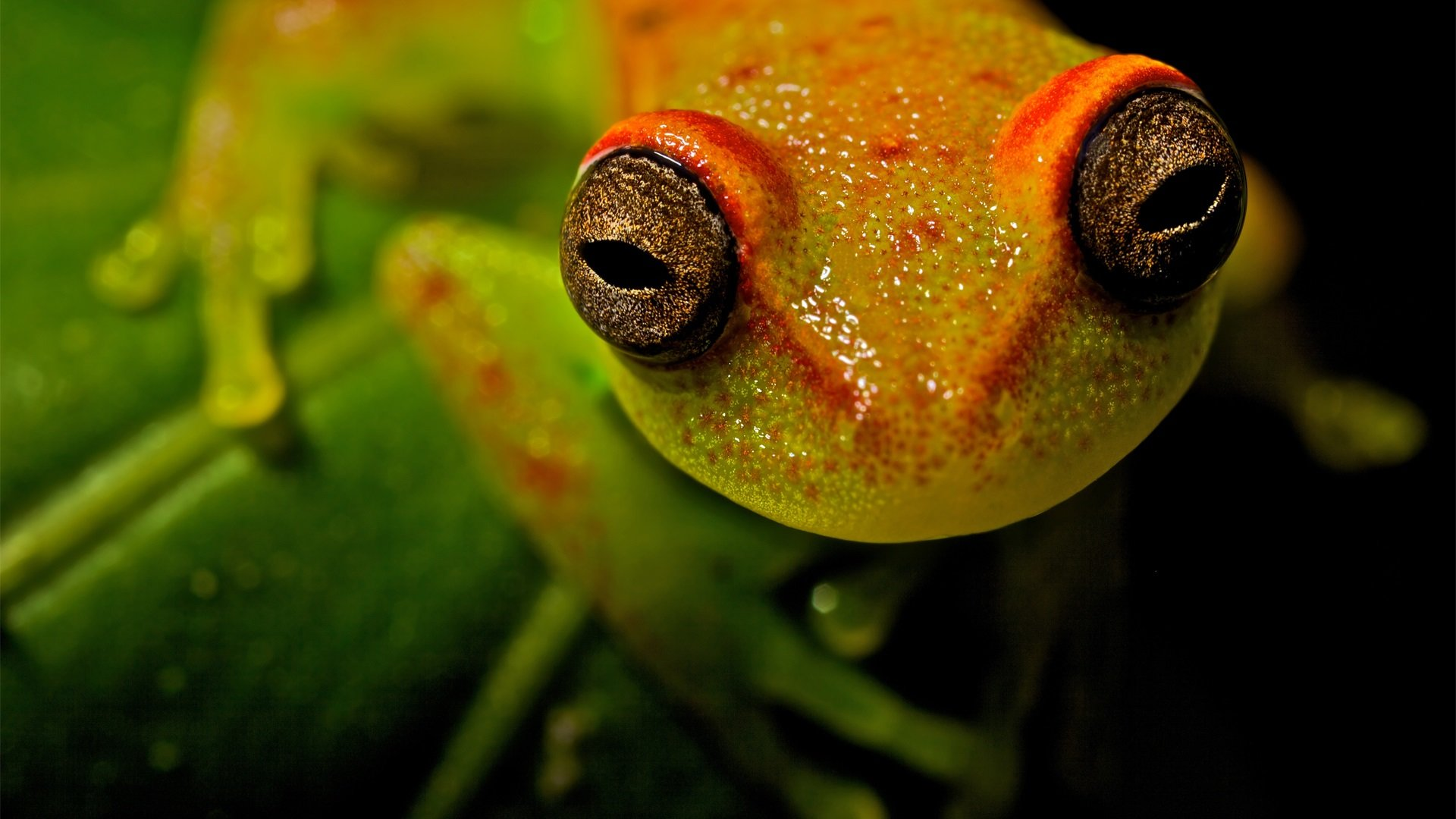 free tree frog high quality wallpaper id:385849 for full hd