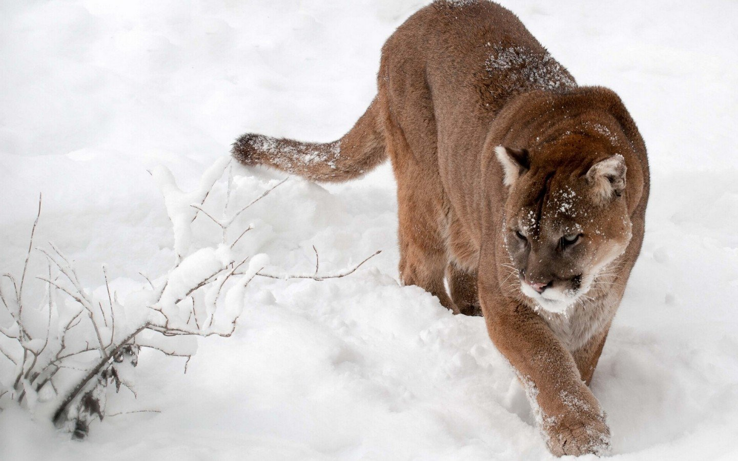 Awesome Cougar free background ID:81719 for hd 1440x900 PC