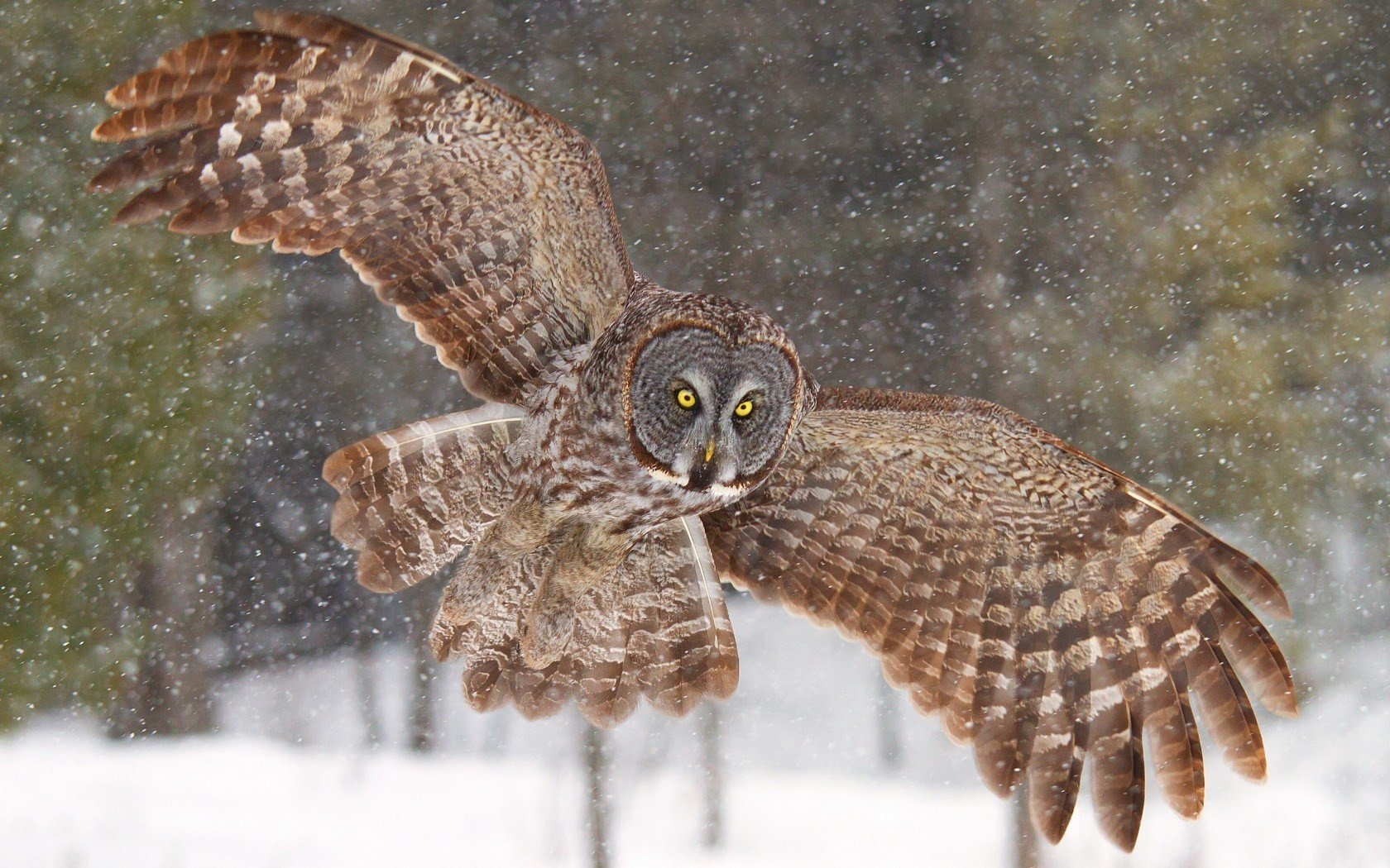 Awesome Great Grey Owl free wallpaper ID:235120 for hd 1680x1050 PC