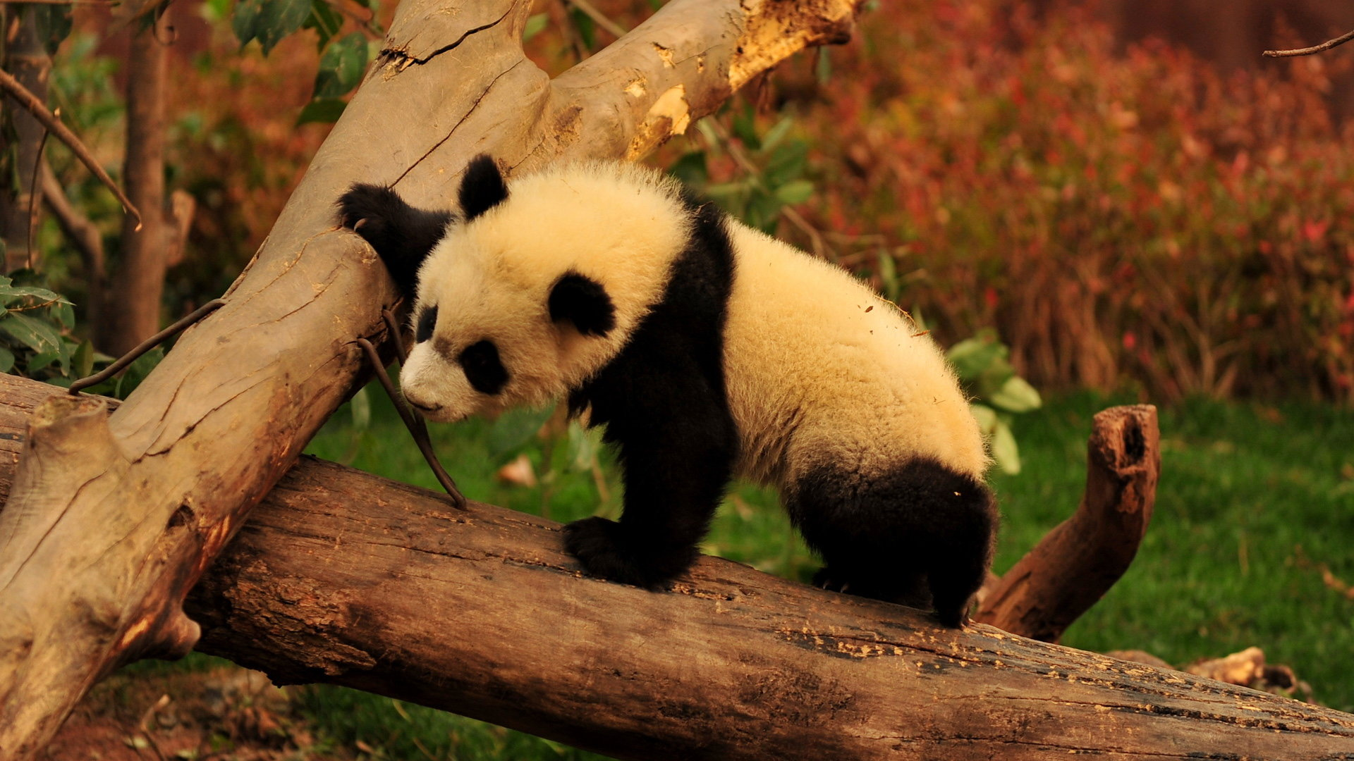 Download hd 1080p Panda desktop background ID:300418 for free
