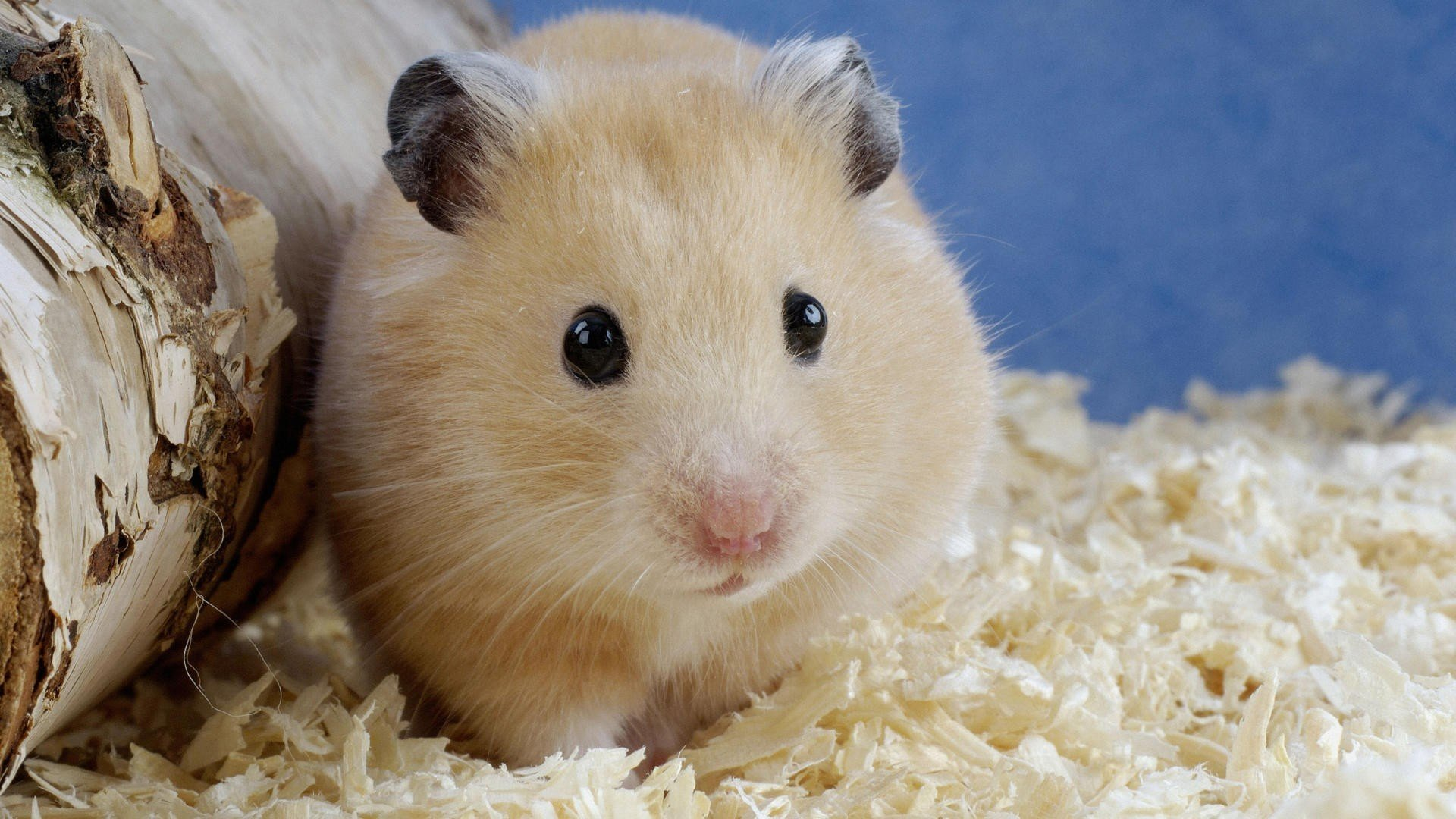 Best Hamster wallpaper ID:234041 for High Resolution 1080p computer