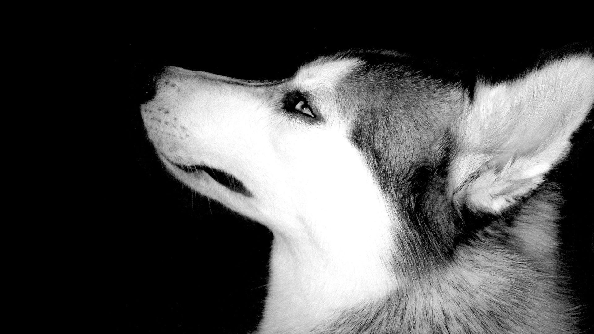 Best Husky wallpaper ID:198439 for High Resolution full hd 1920x1080 PC