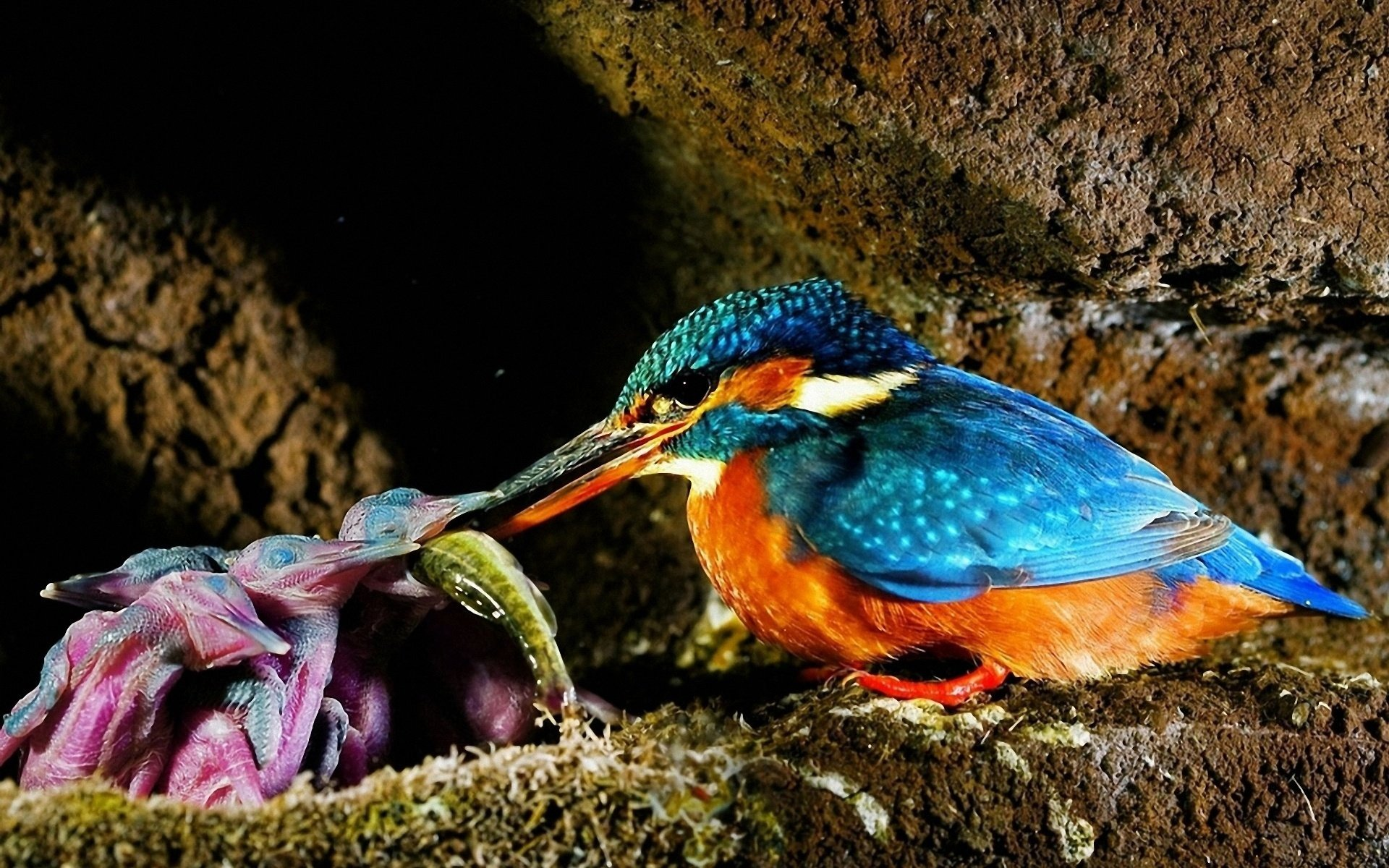 Awesome Kingfisher free wallpaper ID:311319 for hd 1920x1200 desktop