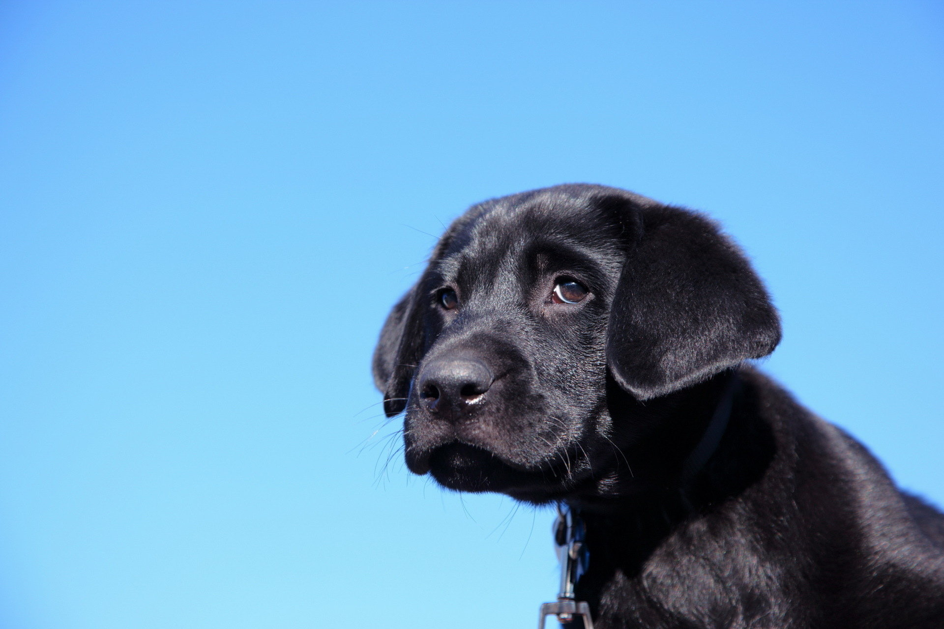 Free download Labrador background ID:421645 hd 1920x1280 for PC