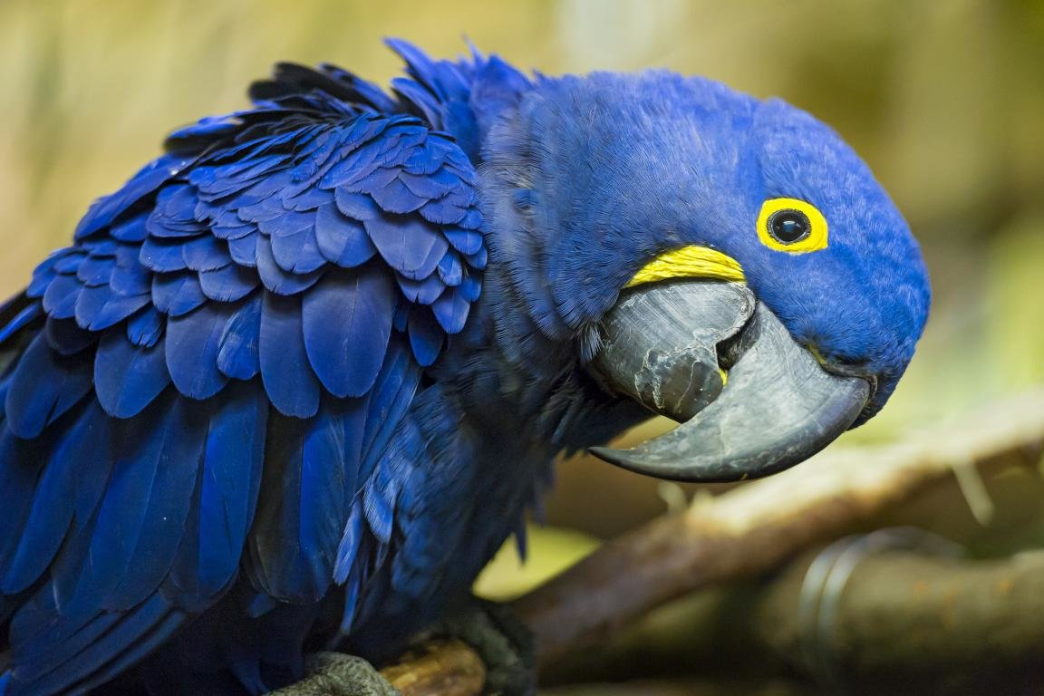 Download hd 1152x768 Macaw PC background ID:46312 for free
