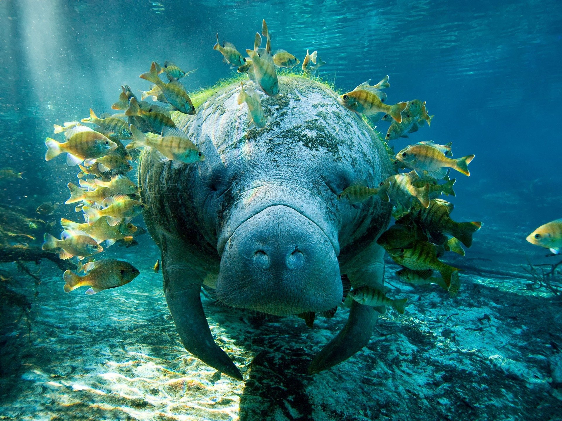 High resolution Manatee hd 1920x1440 background ID:43402 for PC