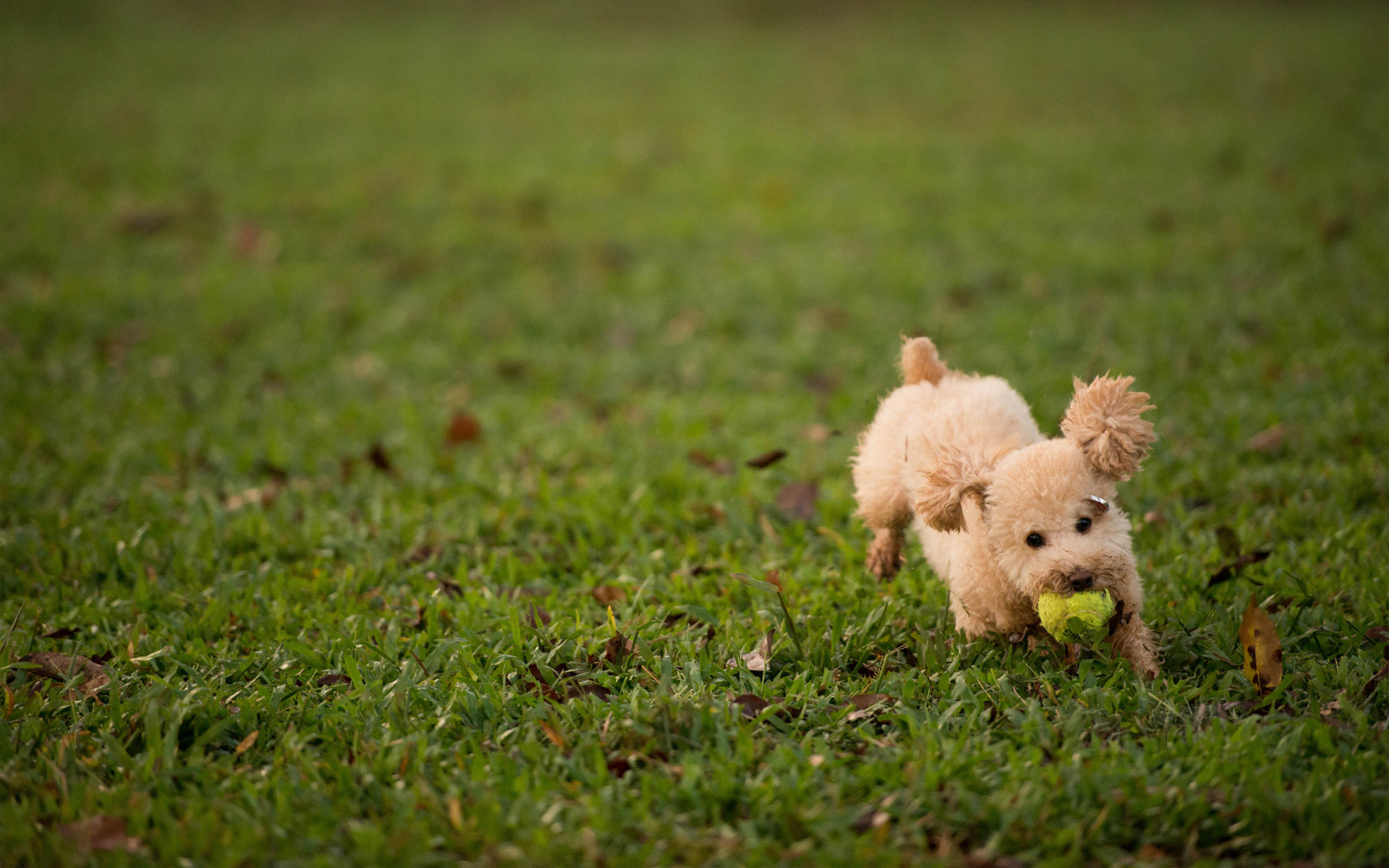 Download hd 1920x1200 Poodle PC background ID:145044 for free