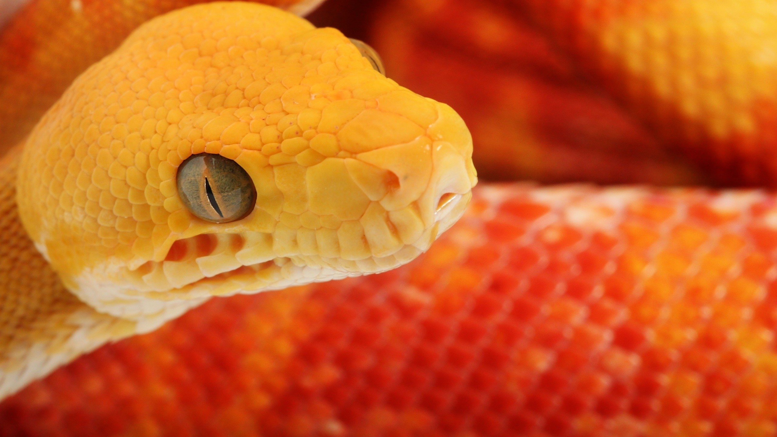 Free Snake high quality wallpaper ID:137194 for hd 2560x1440 desktop