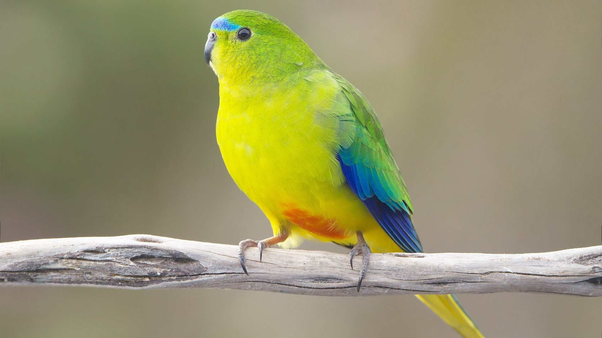 Free download Parrot background ID:25770 full hd 1920x1080 for PC