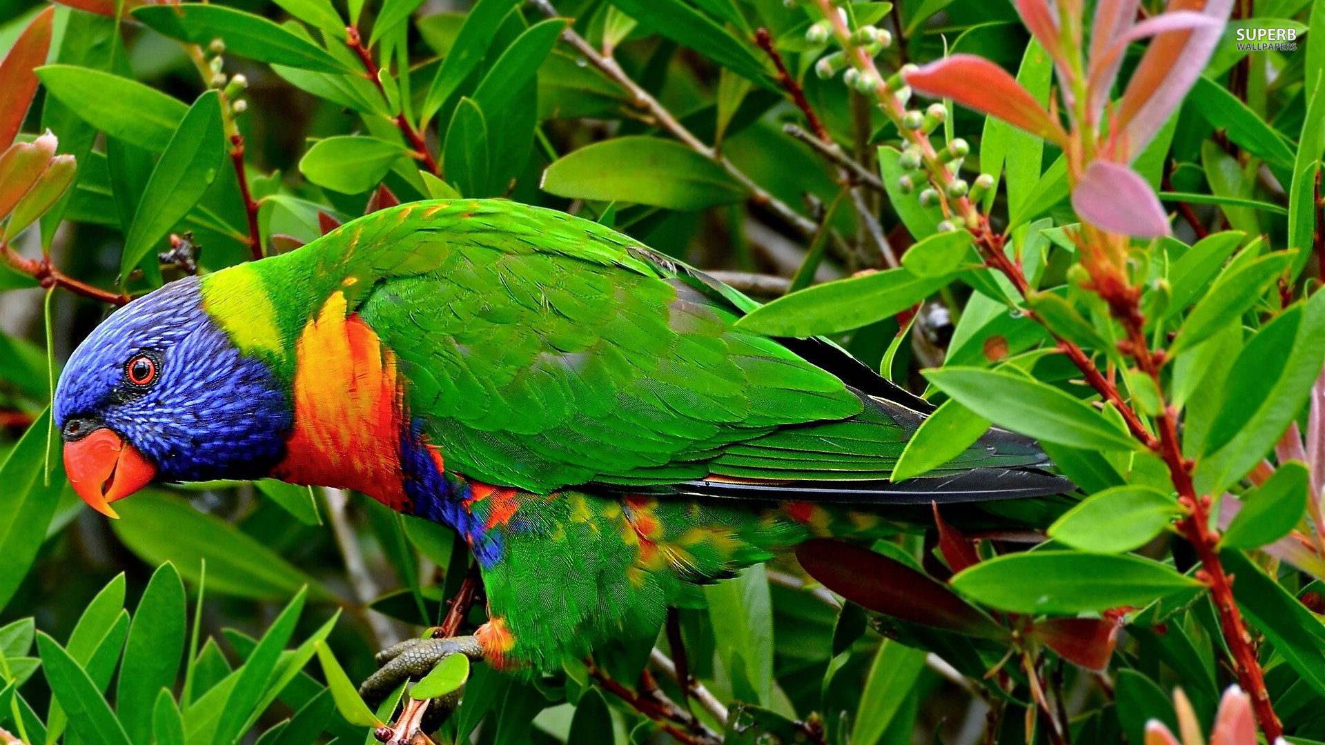 Free Rainbow Lorikeet high quality background ID:10180 for full hd 1080p PC