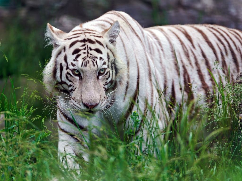 High resolution White Tiger hd 1024x768 wallpaper ID:174966 for computer