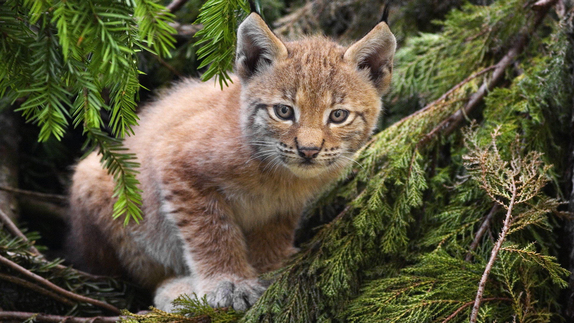 Awesome Lynx free wallpaper ID:105743 for full hd 1080p desktop